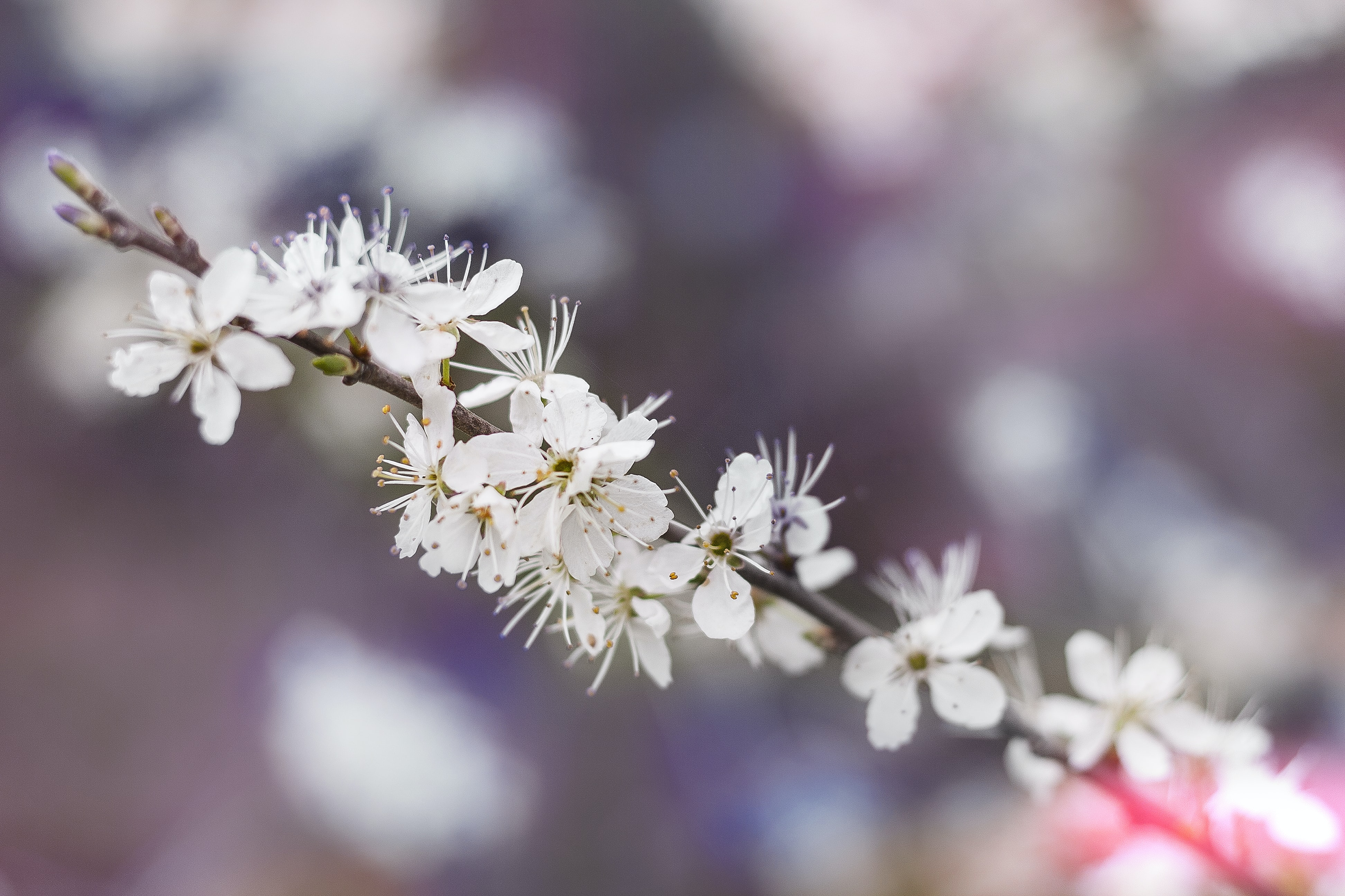 White flowery blossom on branch with petals in Spring