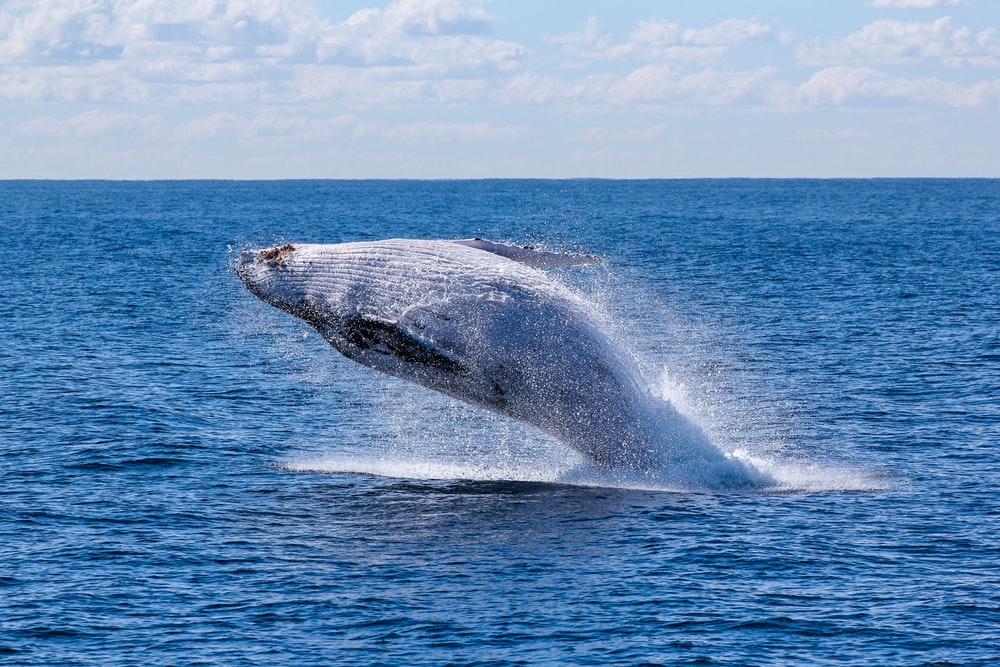 gray whale jumping on sea at daytime