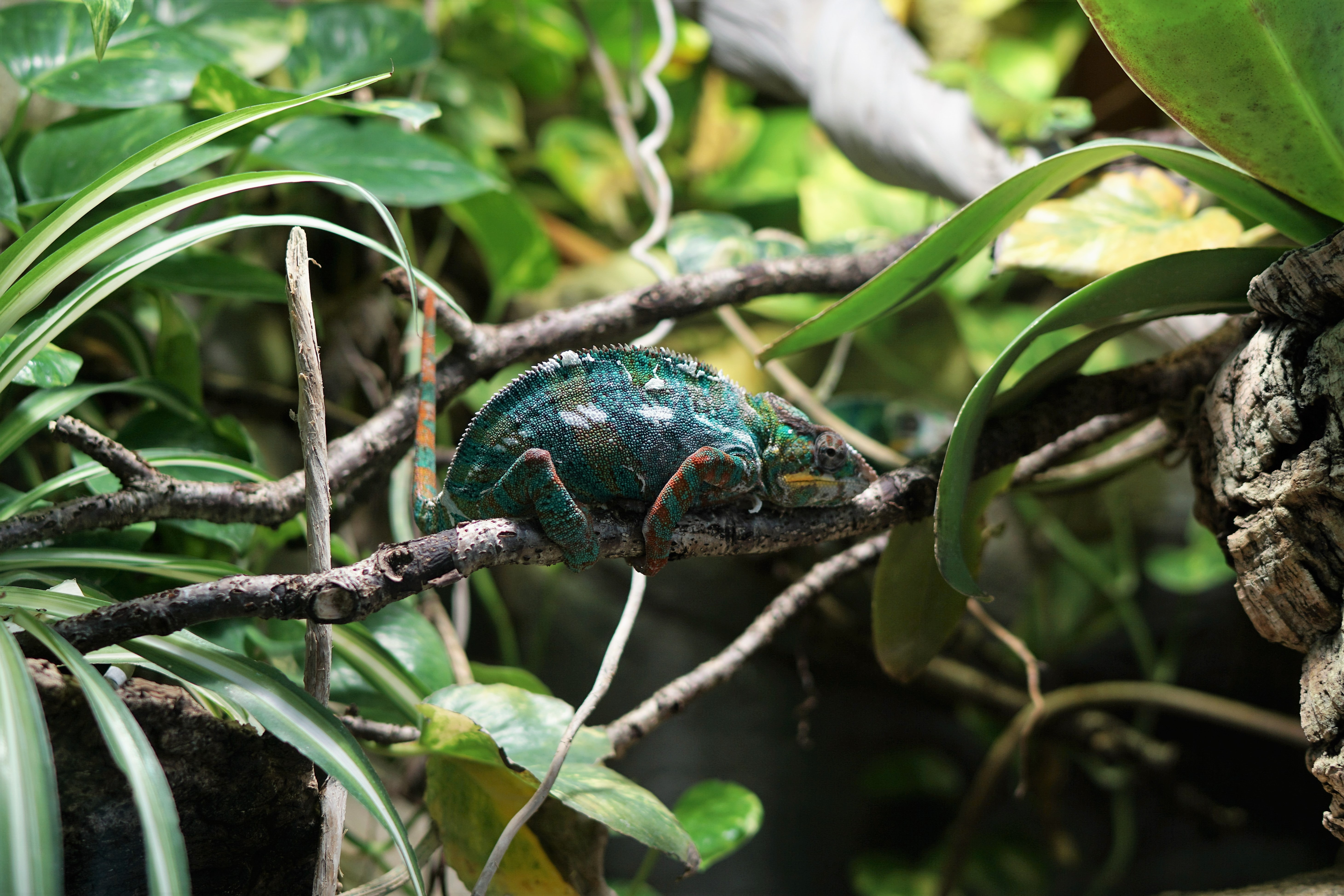 Chameleon sits on a branch in the jungle blending in with the leaves