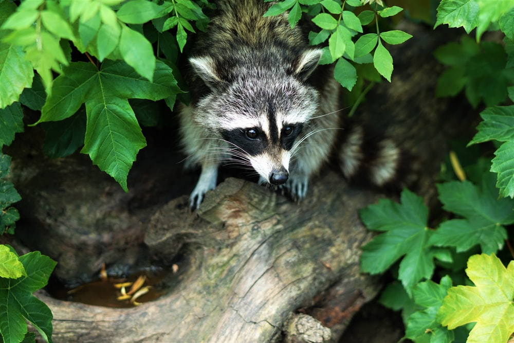 gray and black raccoon on tree log