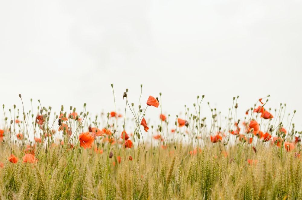 Poppy wallpaper flower wallpapers and flower background hd photo orange flowers mightylinksfo