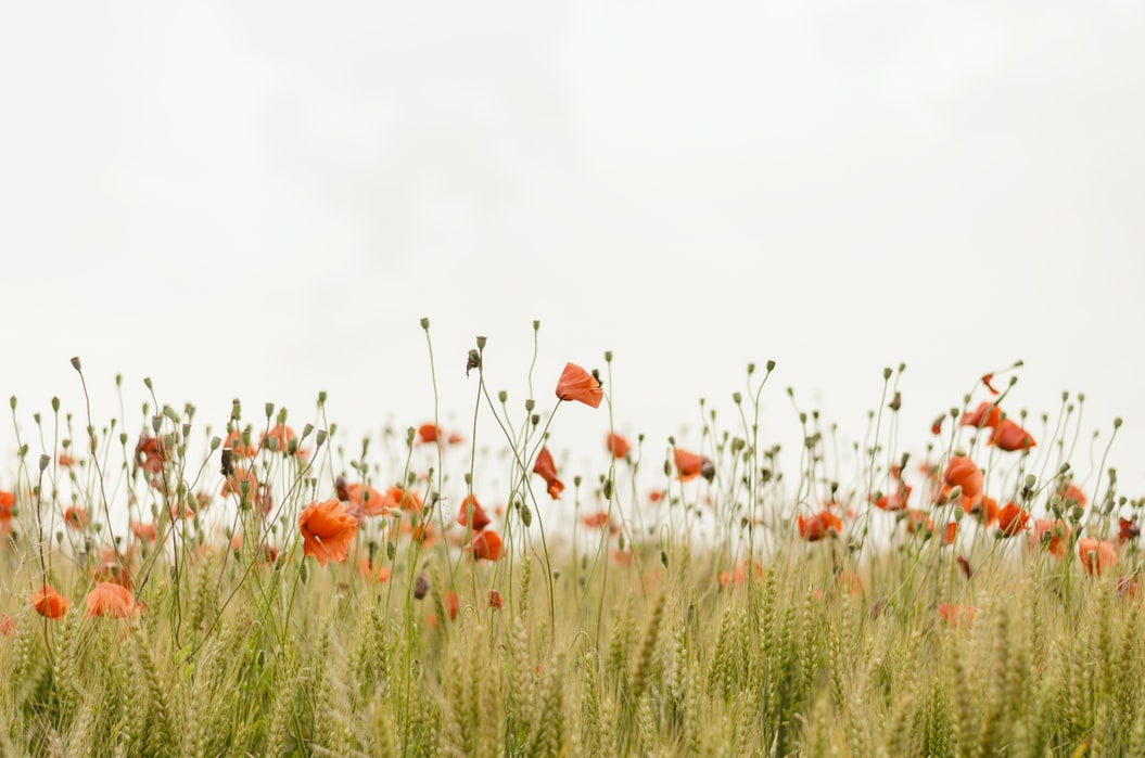 A photo of some poppies and a bright sky.
