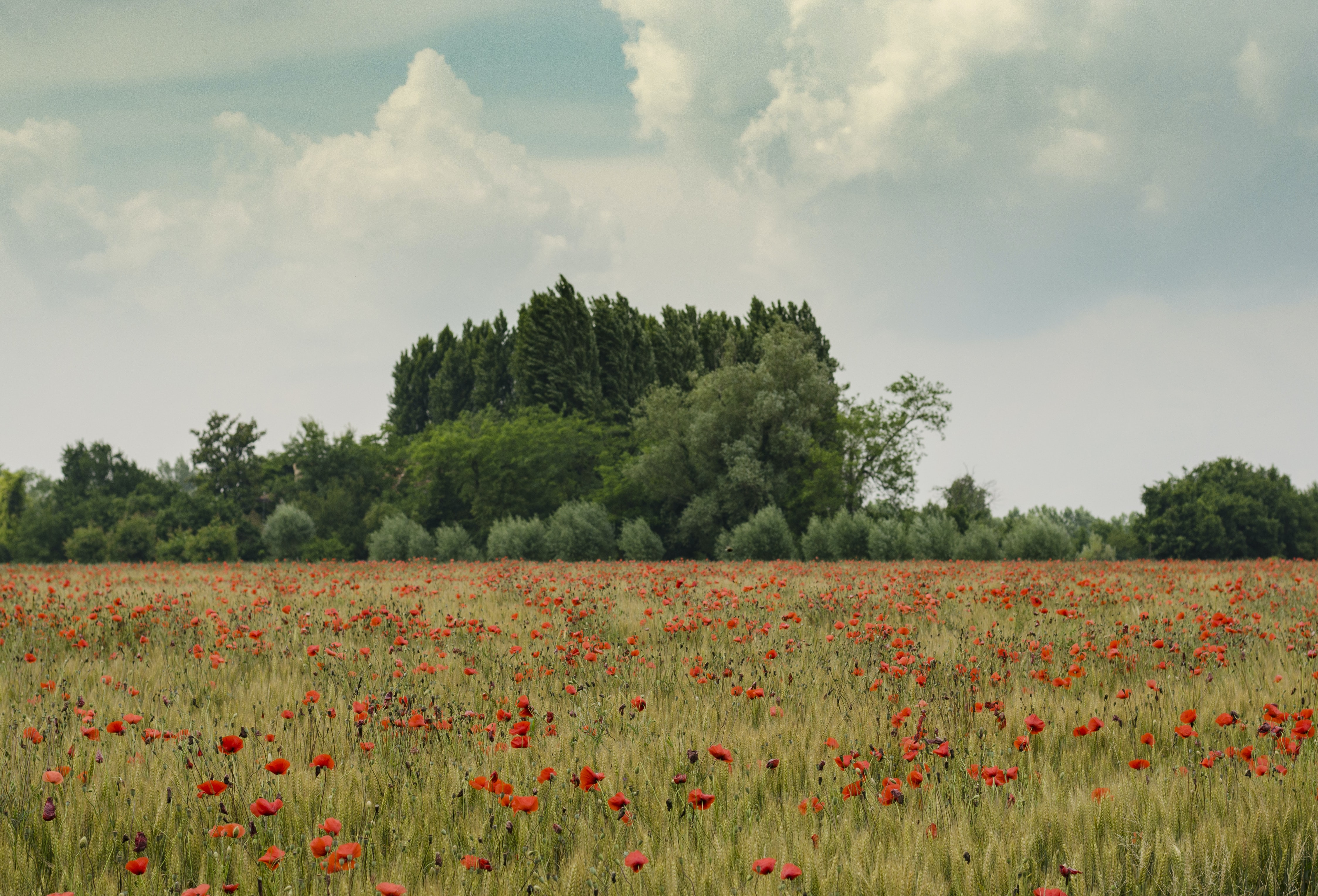 Wide angle shot of a poppy field.