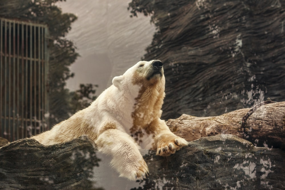 polar bear lying on brown rock