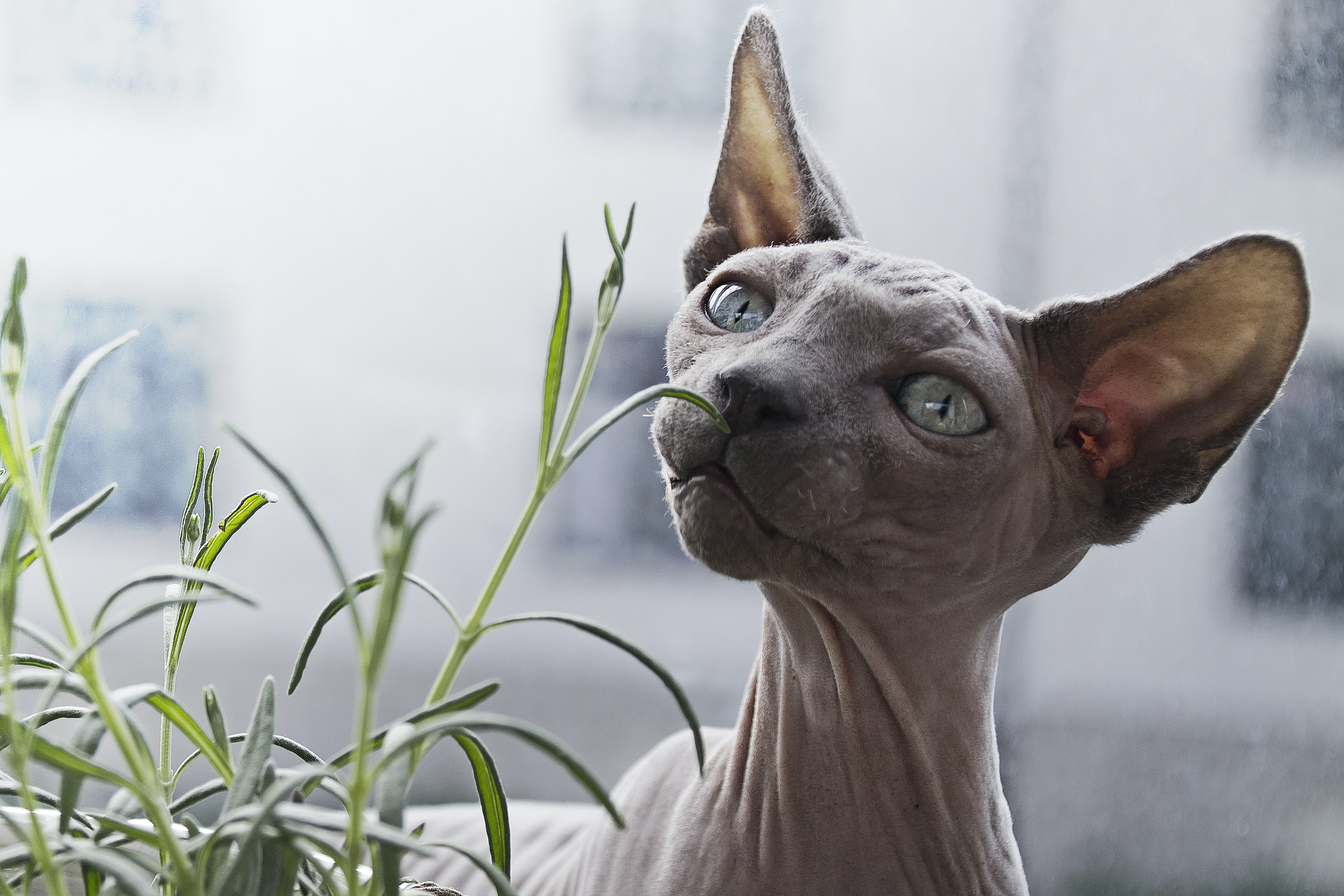 Close-up of a hairless Sphynx cat sniffing a plant