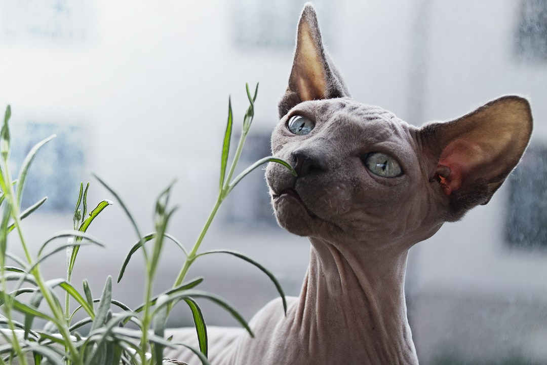 Hairless cat and a plant