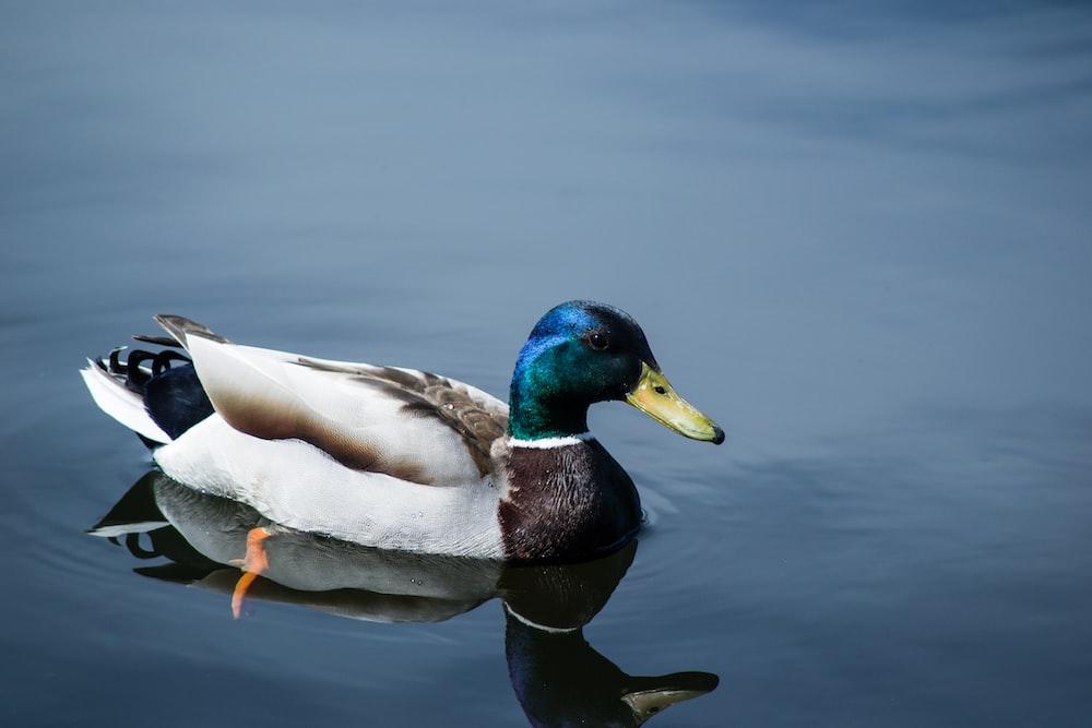 close up photo of mallard duck