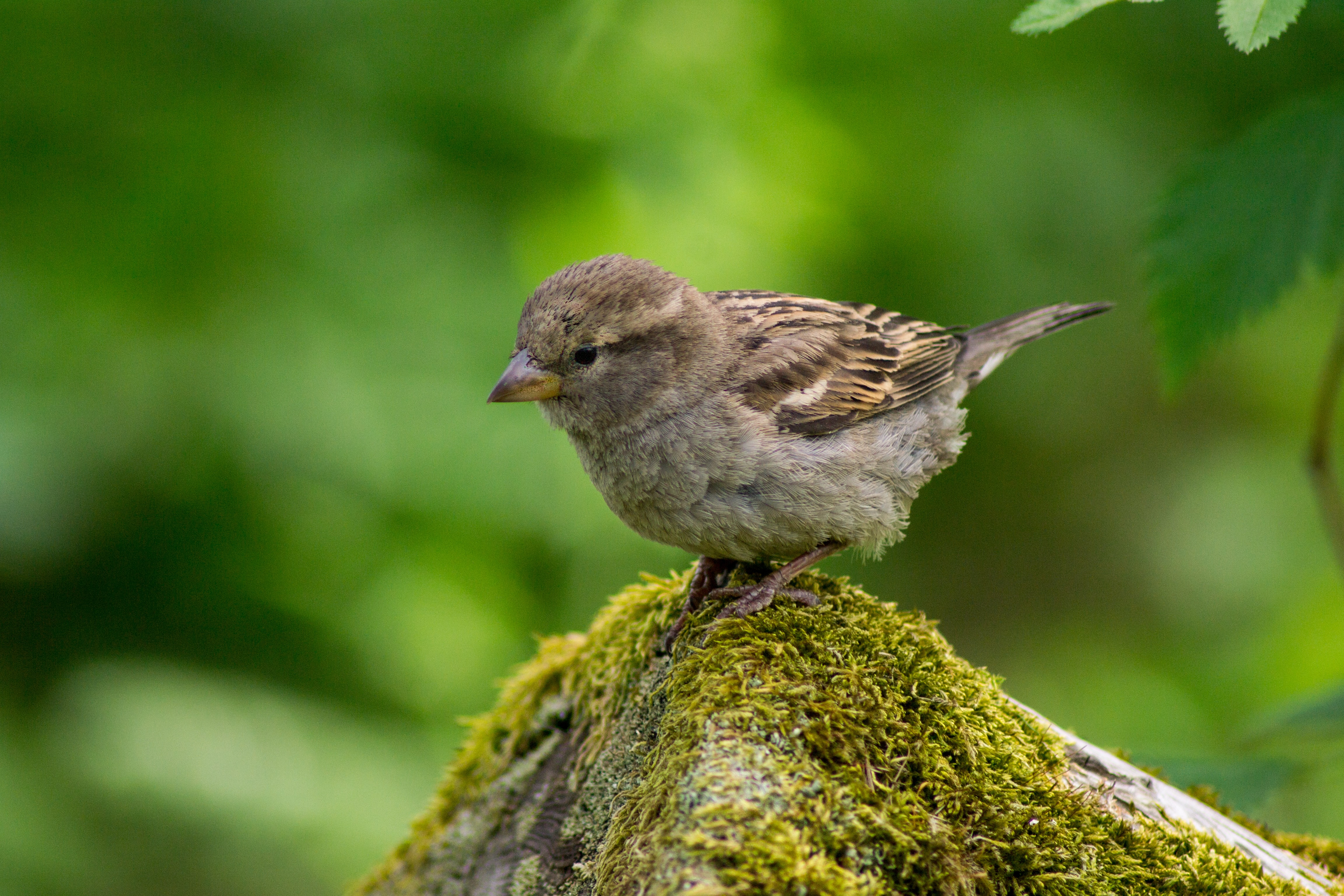 Portrait of a small brown baby bird perched on a mossy branch in the wild