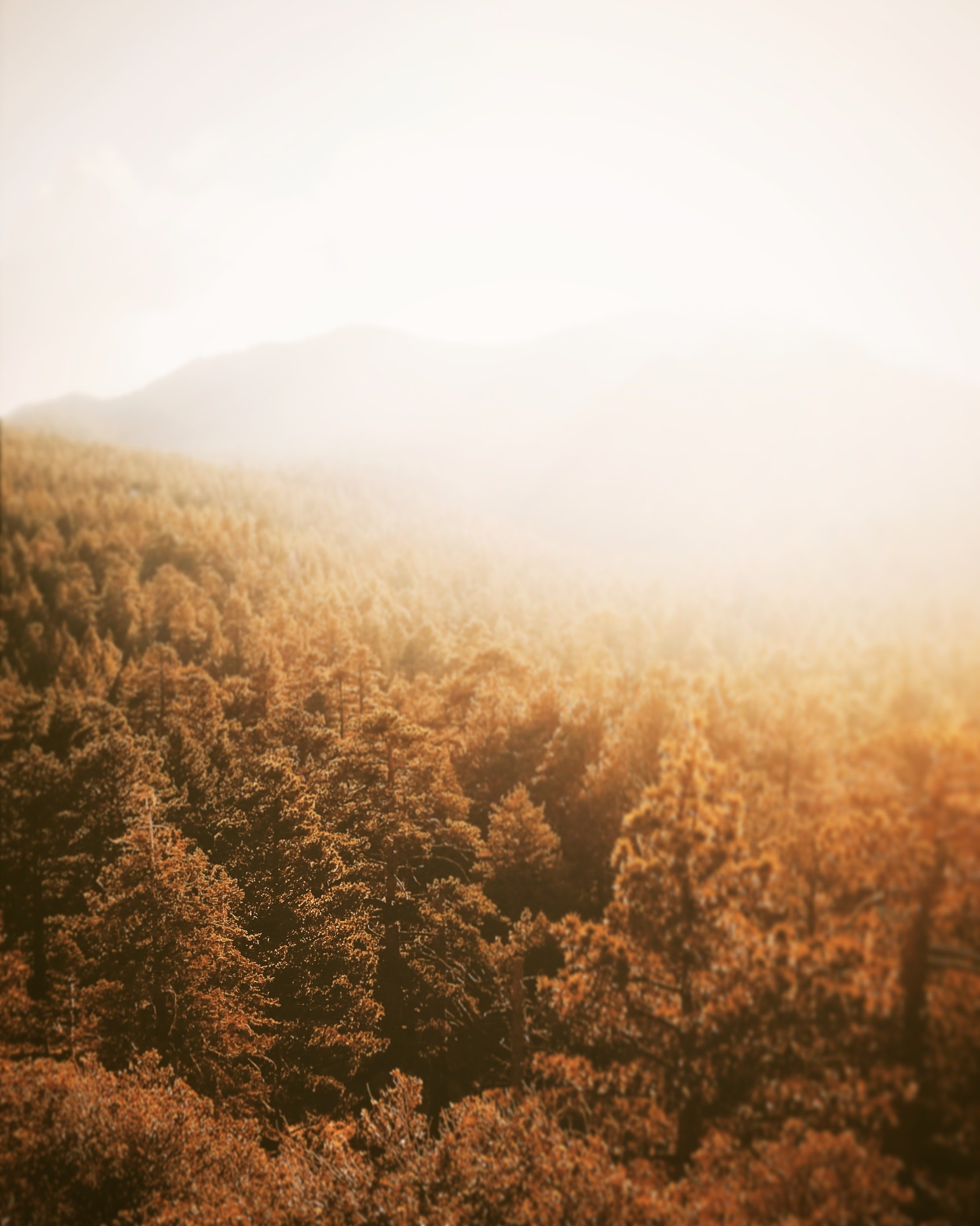 A forest bathed in gold sunshine in Mount San Jacinto State Park