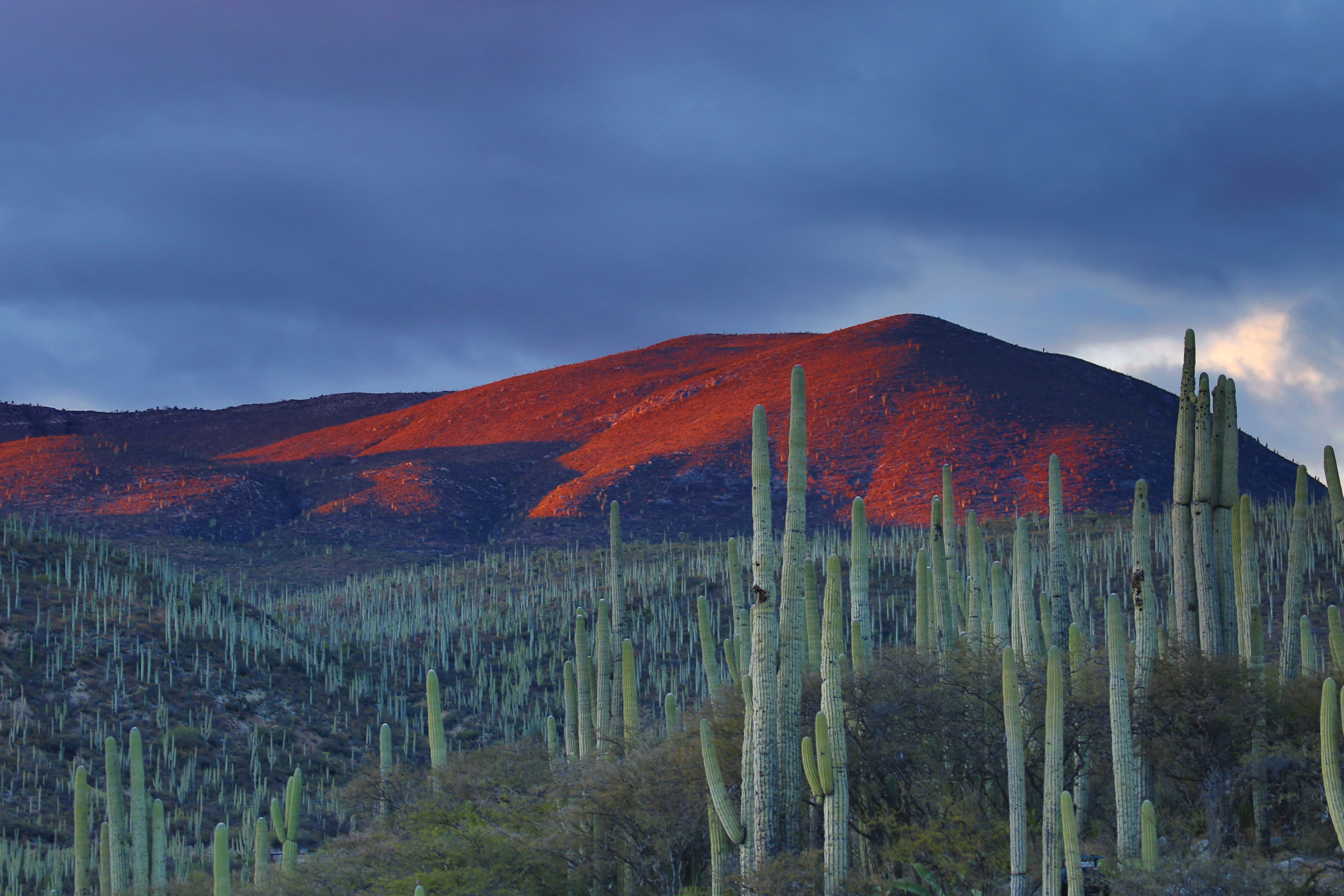 Cacti and red mountains in the desert at dusk
