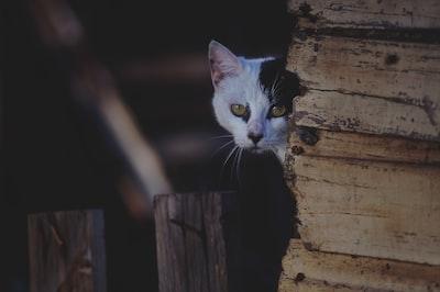 Hiding calico cat