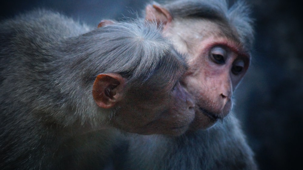 photo of two gray primates