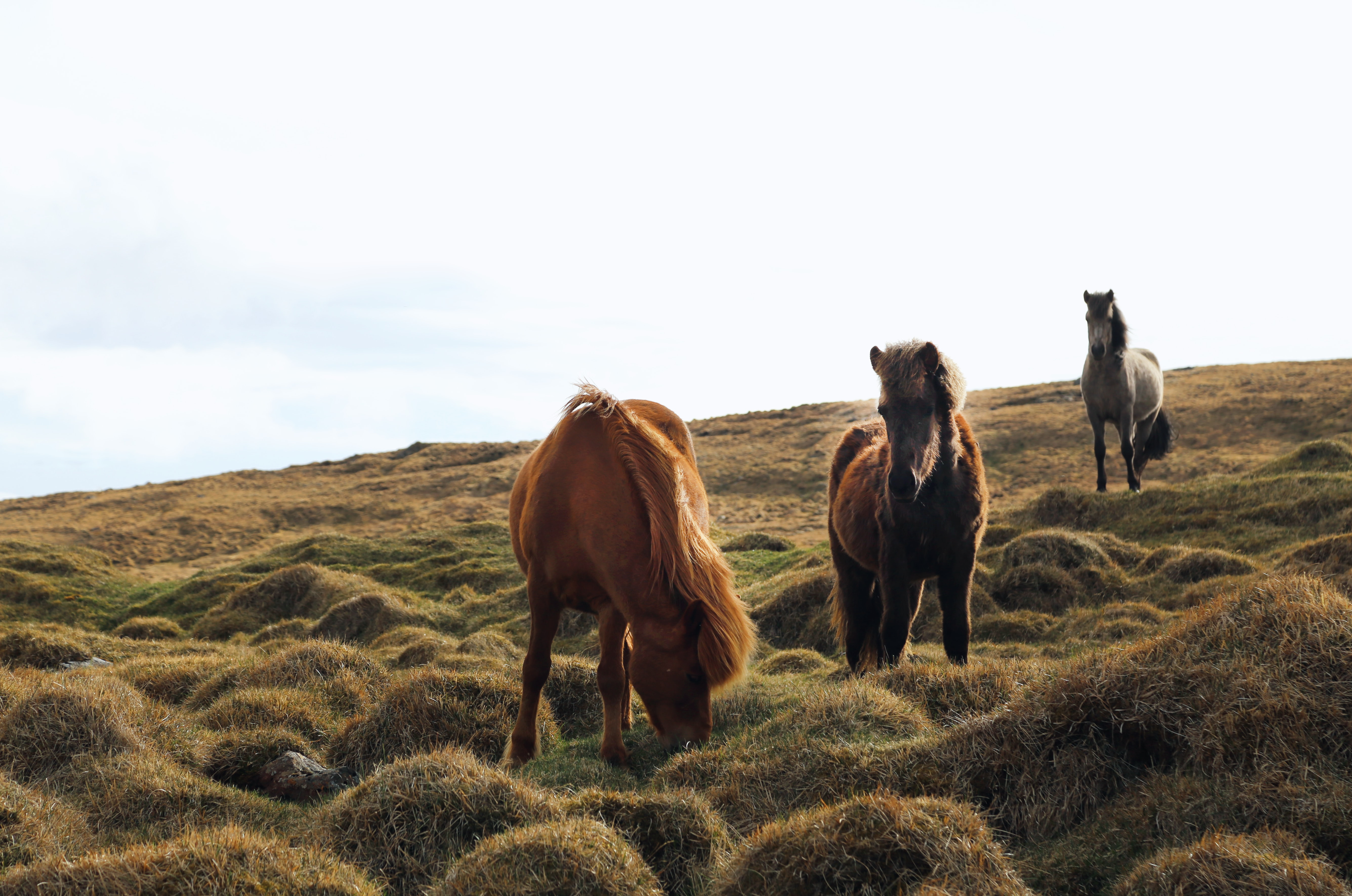 Three horses grazing on the side of a hill in Iceland