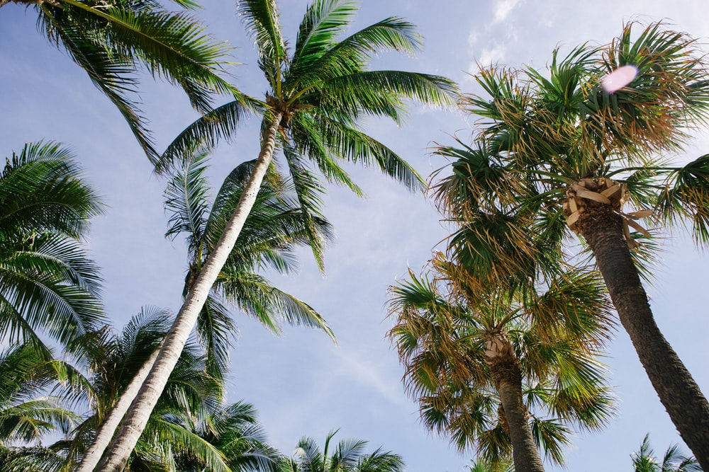 coconut trees and fan palm trees under cloudy sky