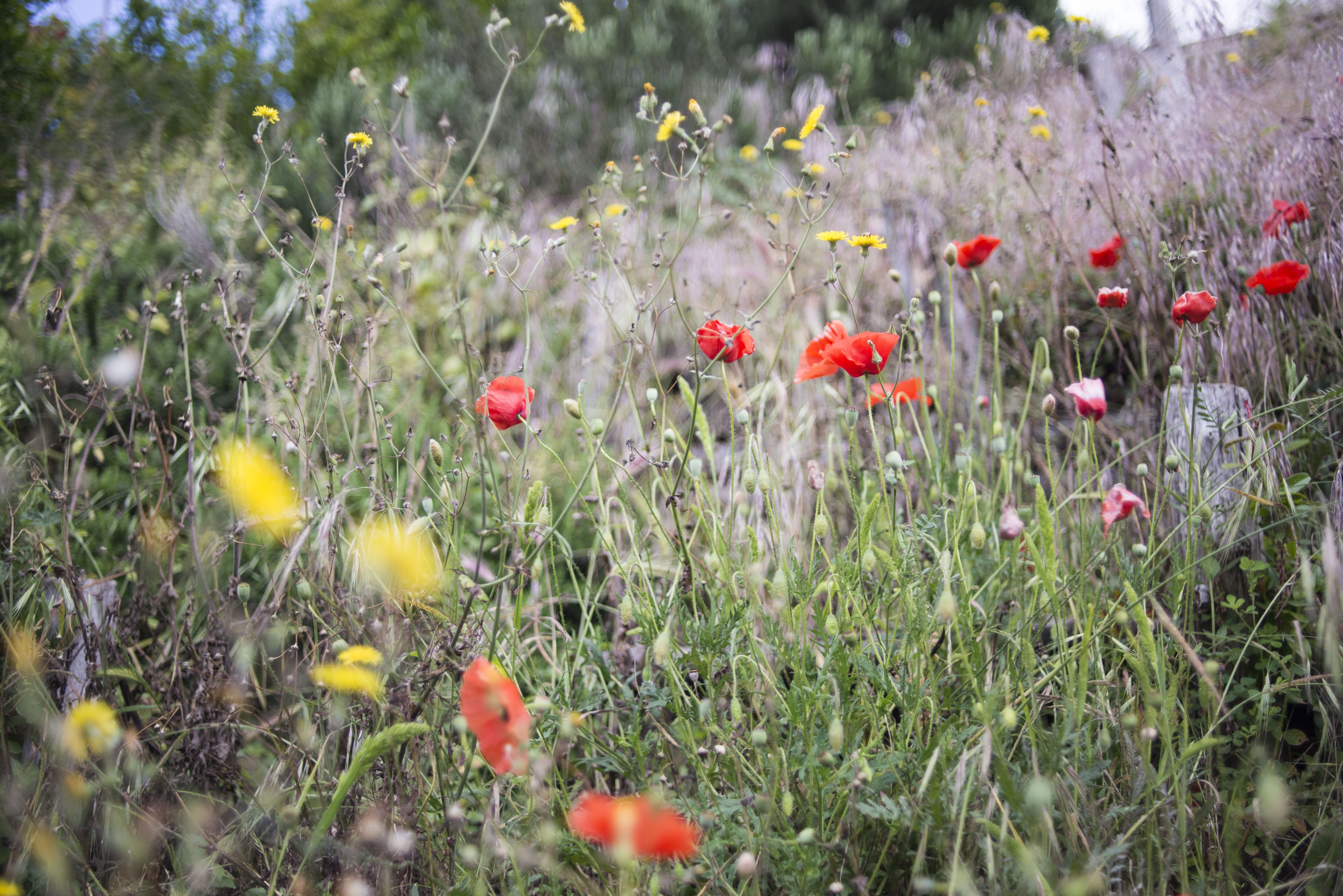 Wild yellow and red poppy flowers in countryside field in Spring, Pompeii