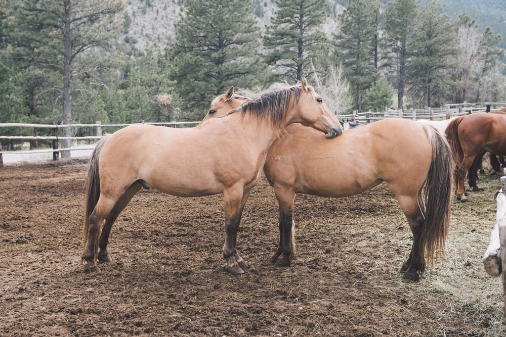 two brown horse on mud field