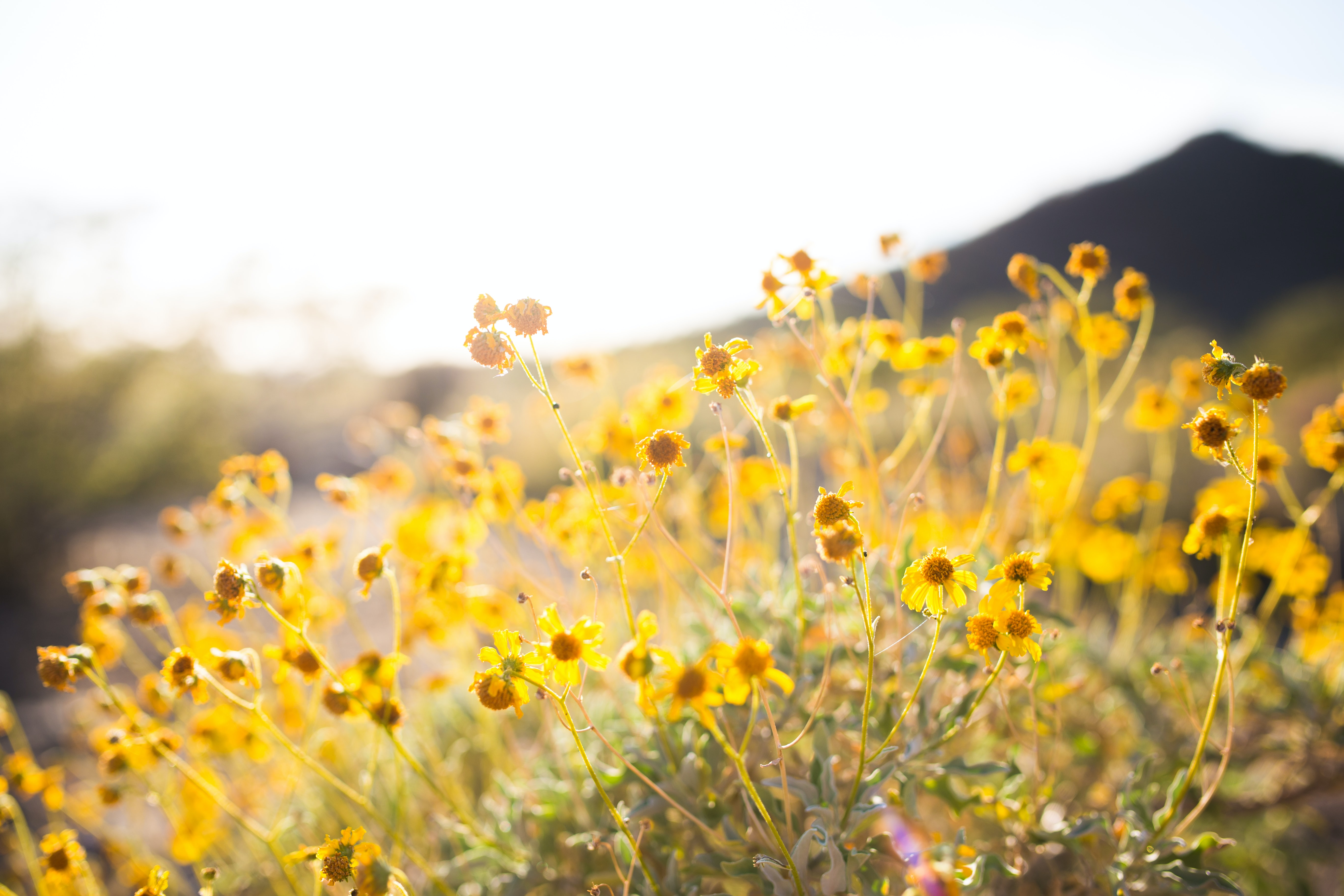 Yellow tender wildflowers in flower field growing in the spring time at Lost Dog Wash