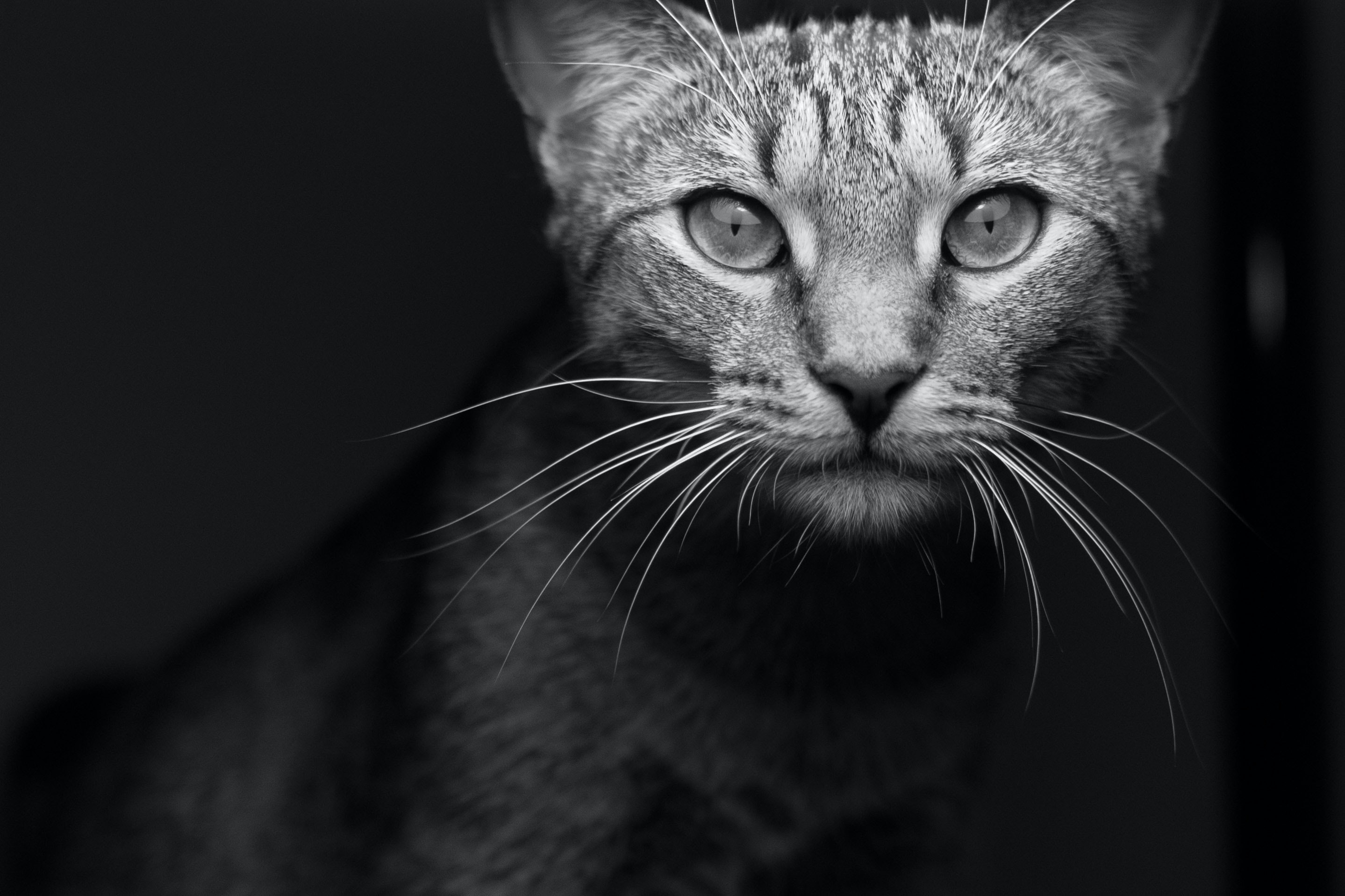 Black and white macro shot of domestic cat with illuminated face