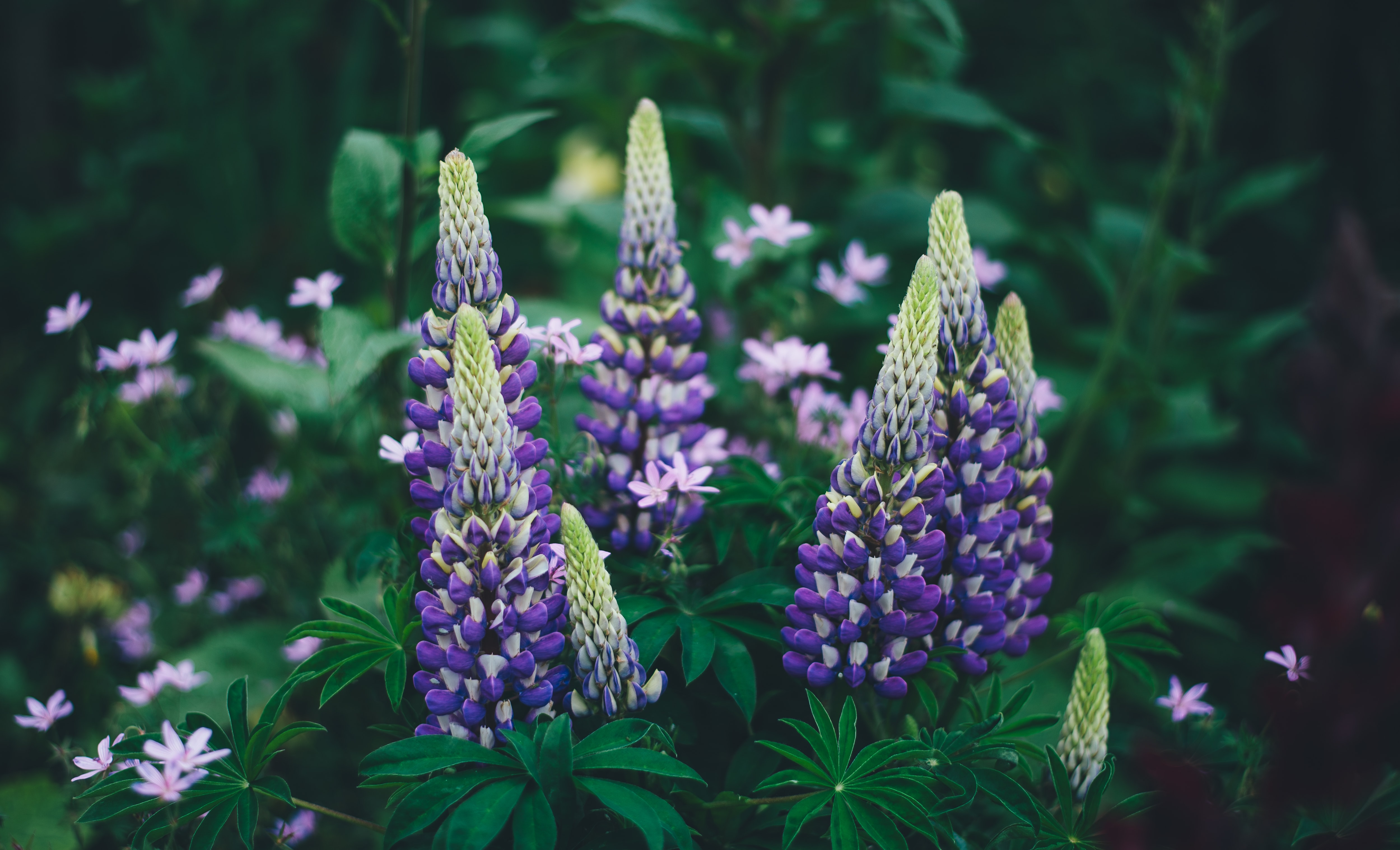 Wild growing dark violet lupine flowers