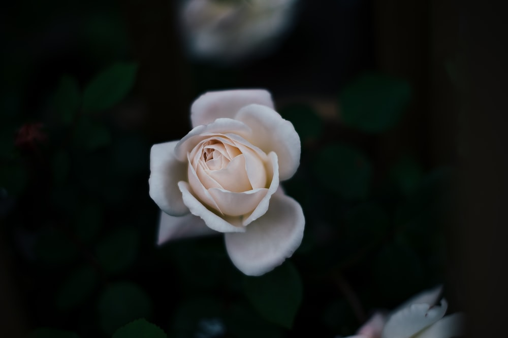 selective focus photo of white rose