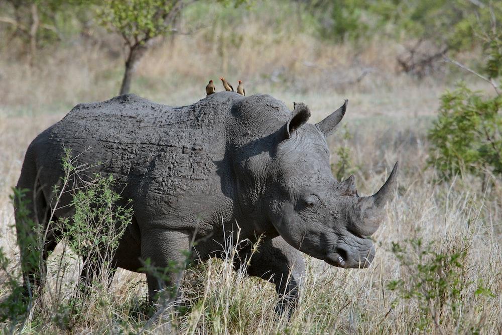 gray rhino on gray grasses at daytime