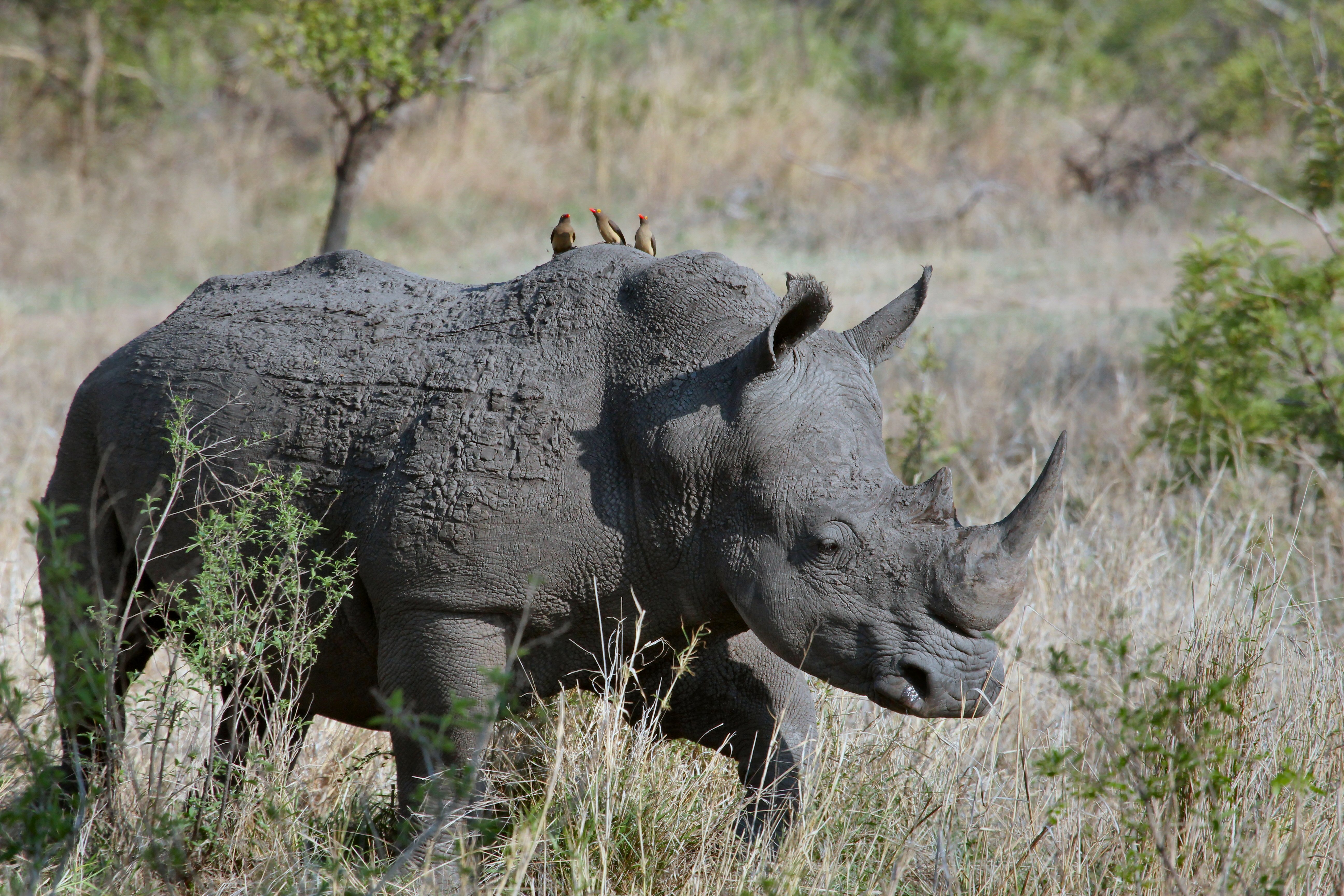 gray rhino on gray grasses at daytime