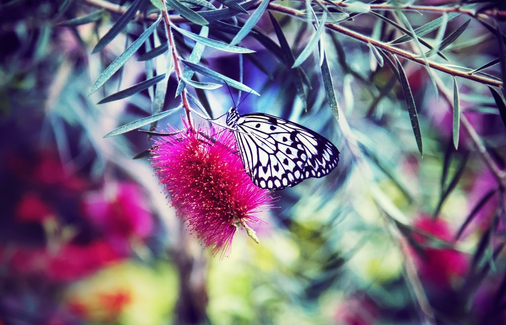 black and white paperkite butterfly perching on pink petaled flower