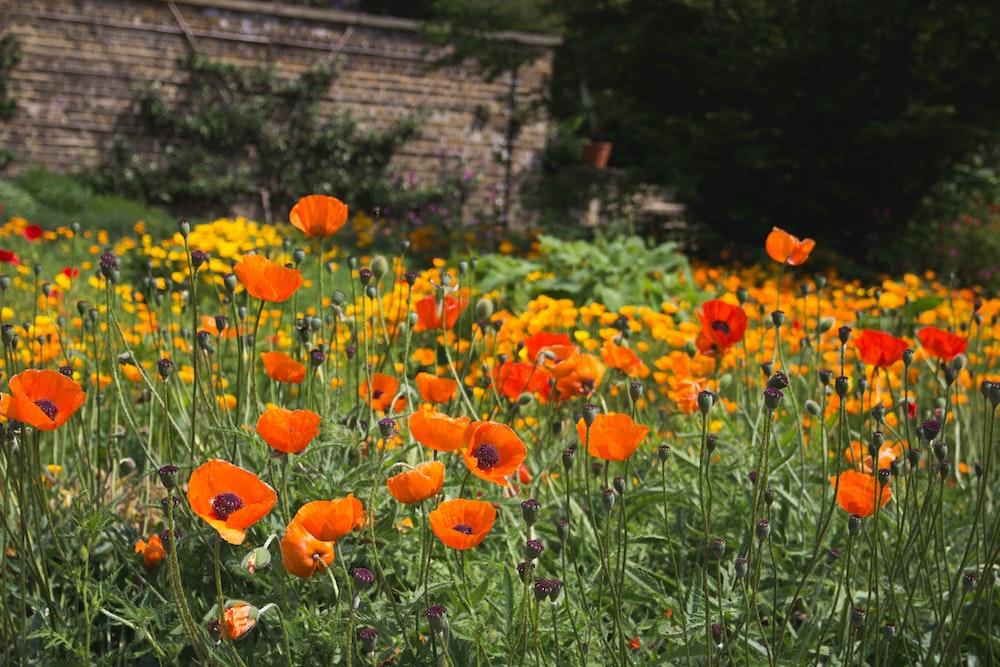 field of orange poppy flowers