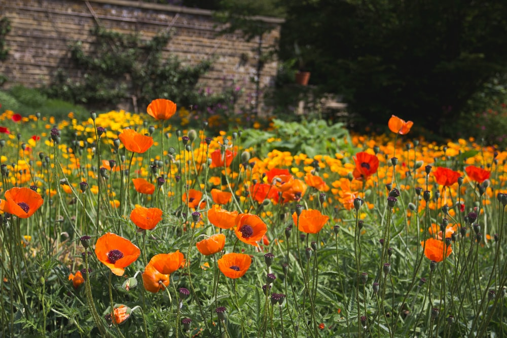 field of orange poppy flowers