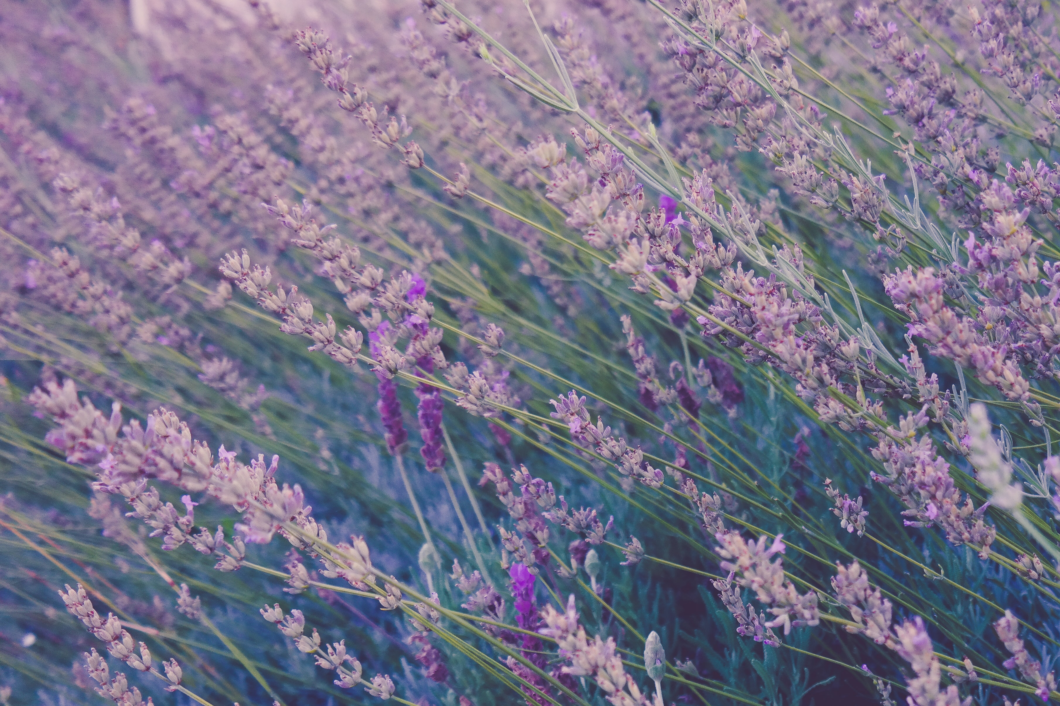 Tall lavender plants swaying in the wind
