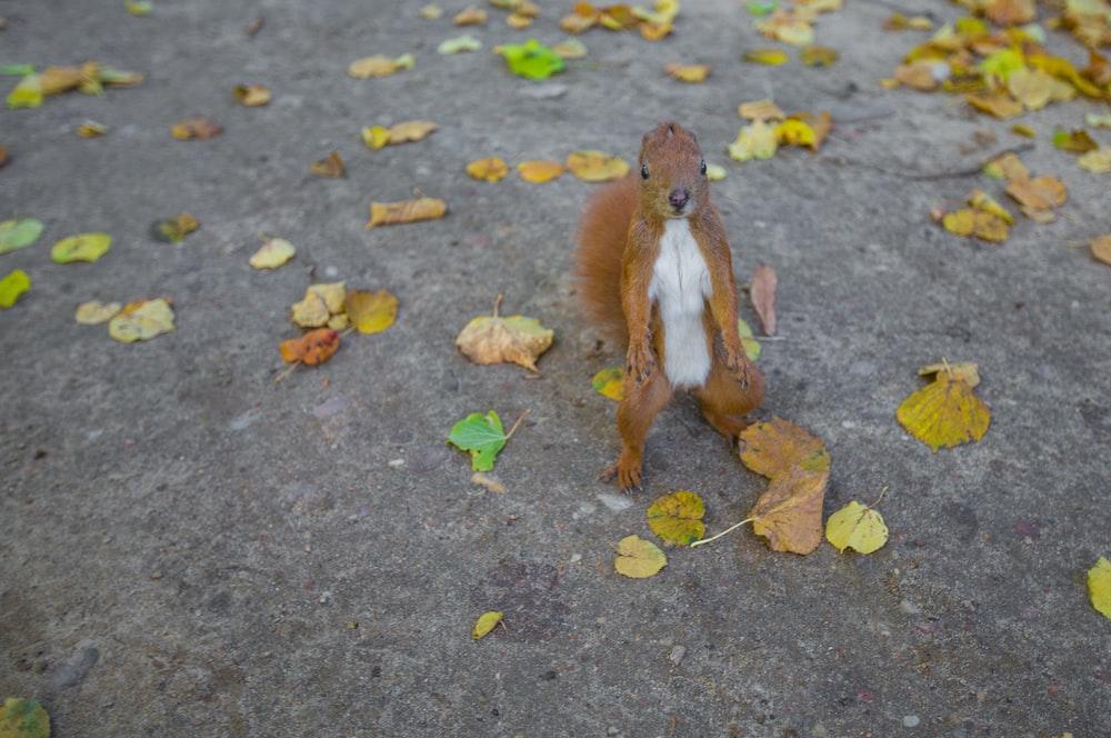 brown squirrel on pavement