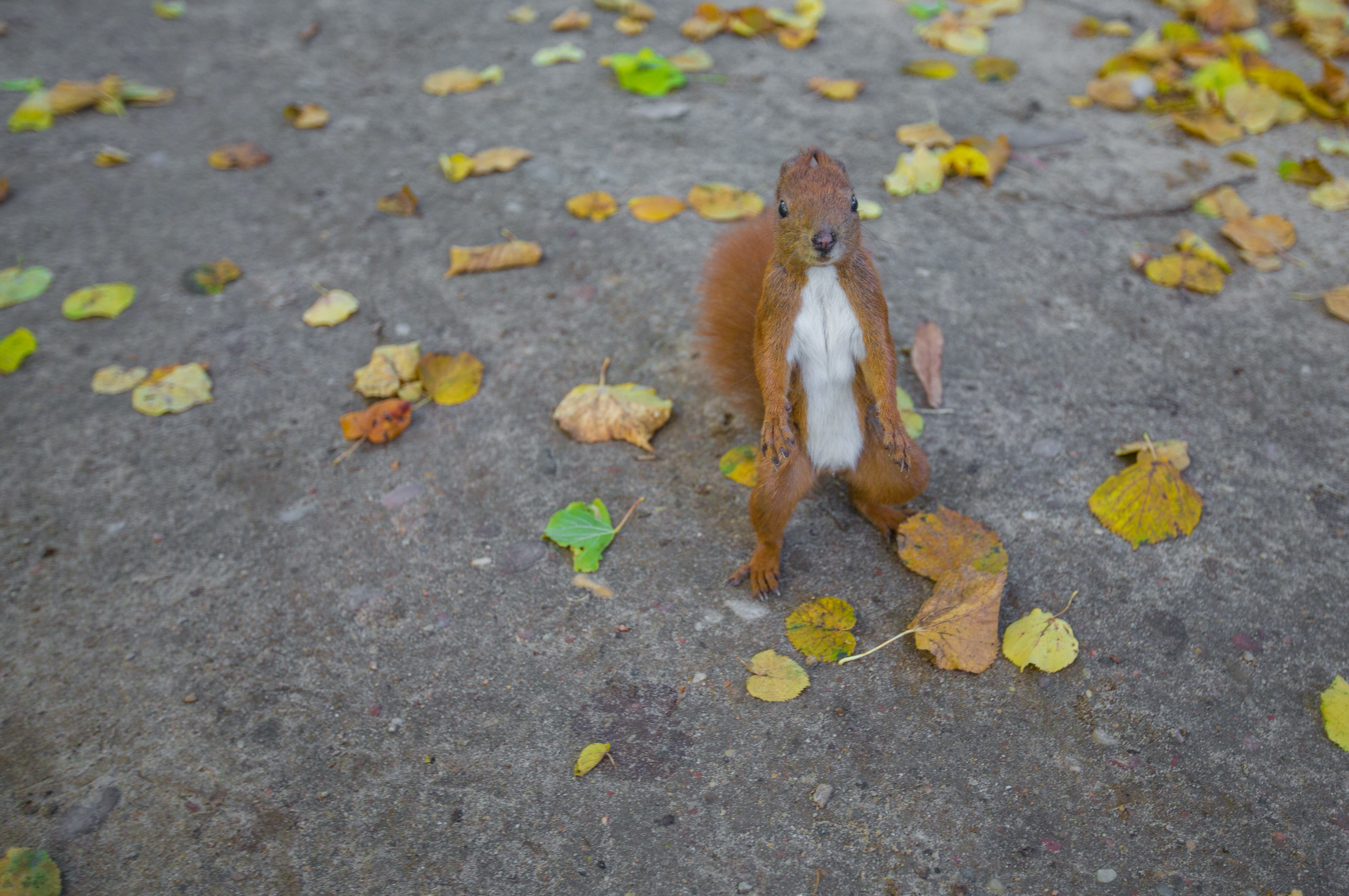 An orange squirrel standing up on a street with scattered autumn leaves
