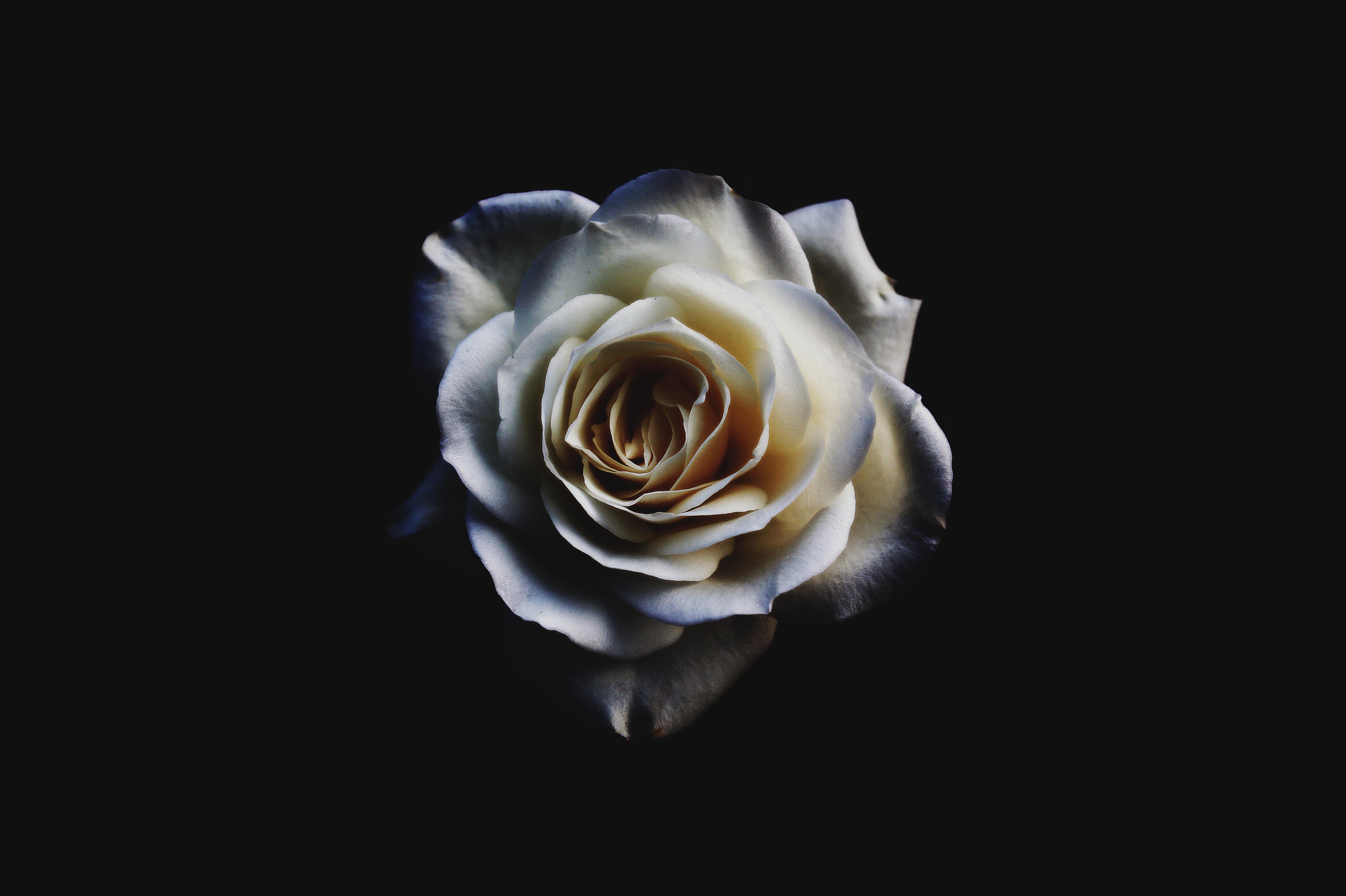 closeup of white rose