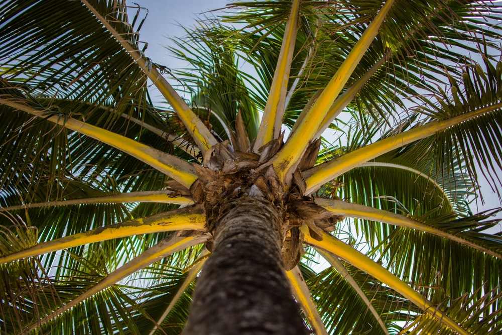 worm's-eye view of palm tree