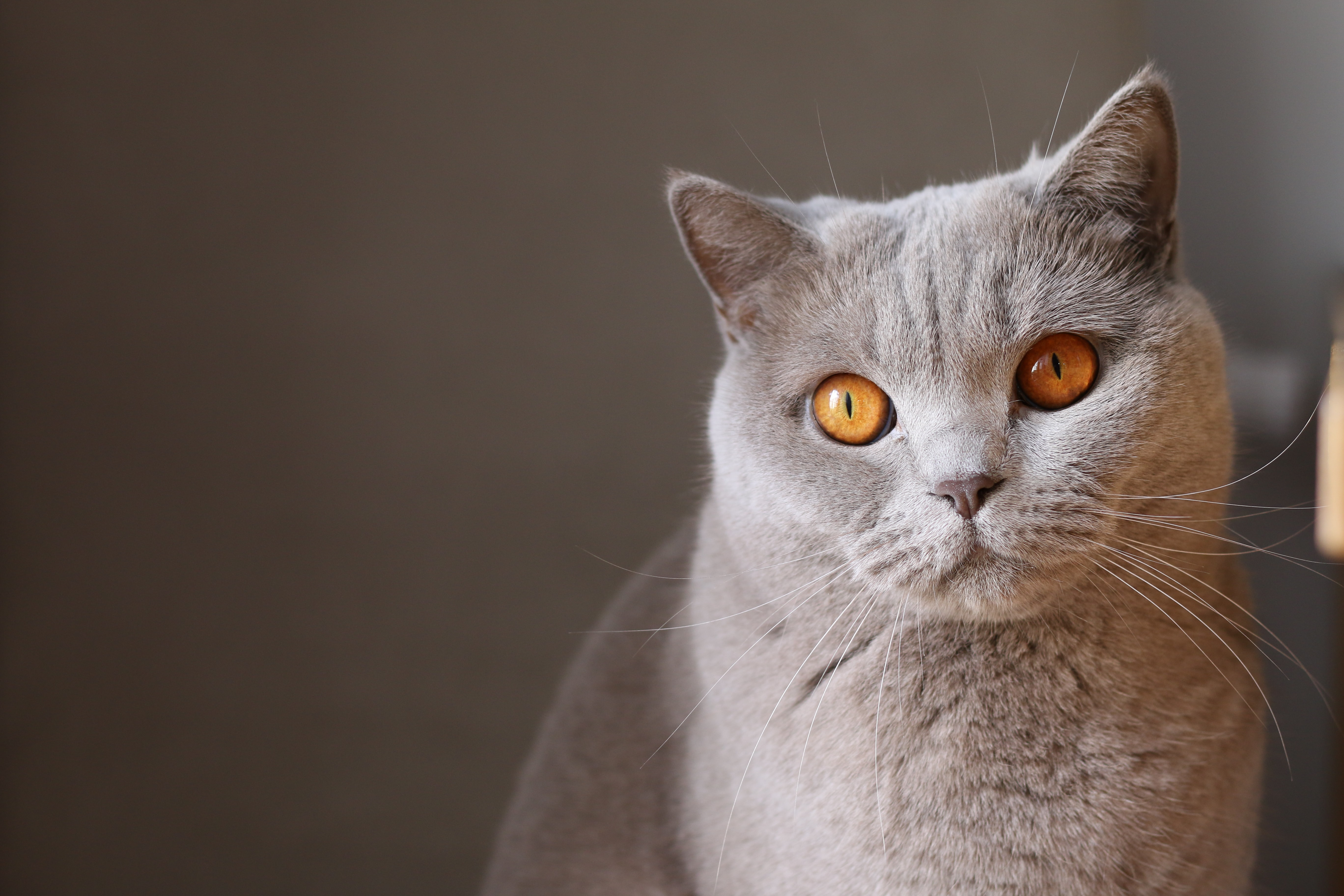 Close-up of a gray short-haired cat