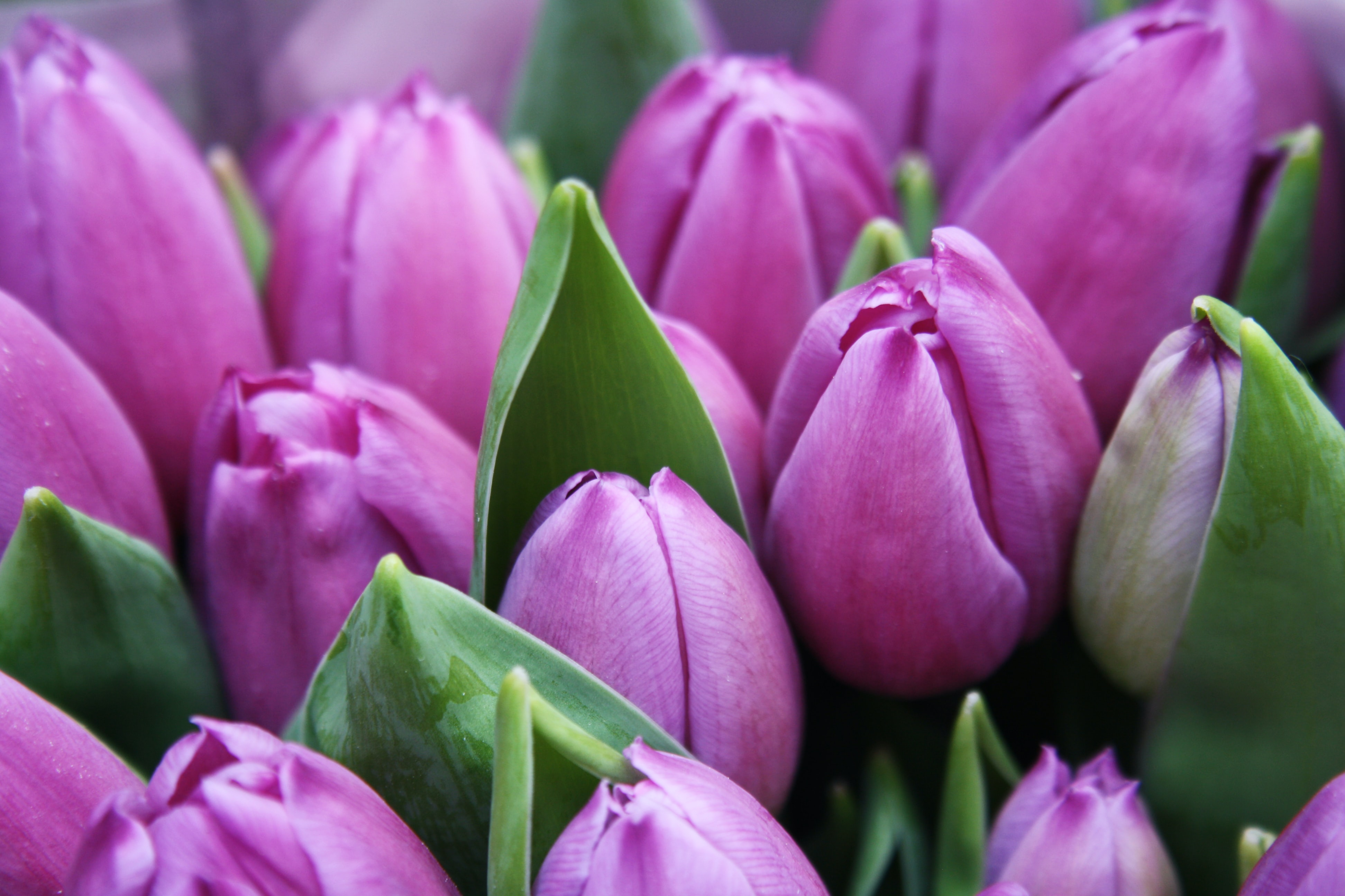 close-up photography of purple tulip flowers