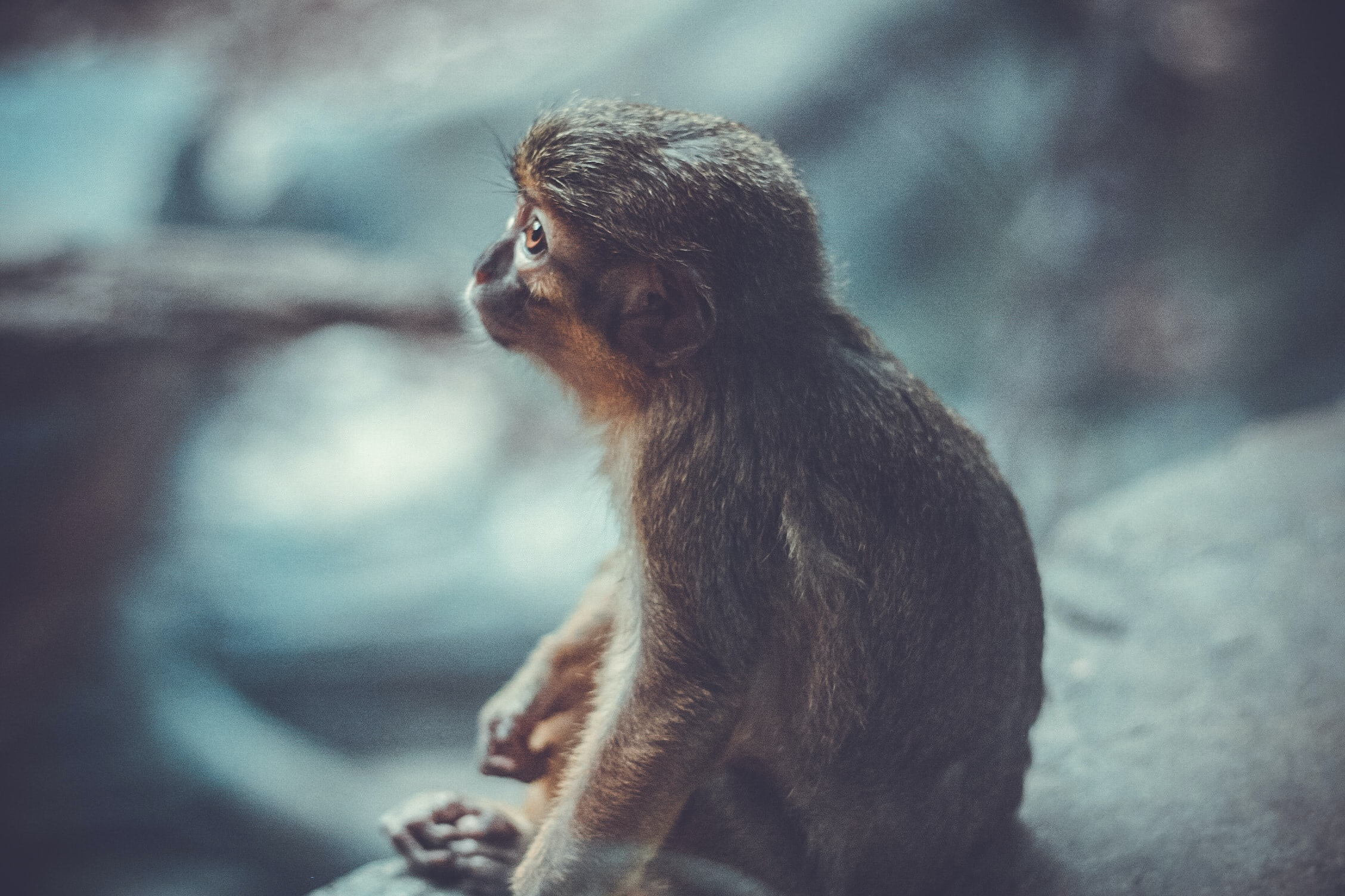 A monkey looking up while sitting on a stone