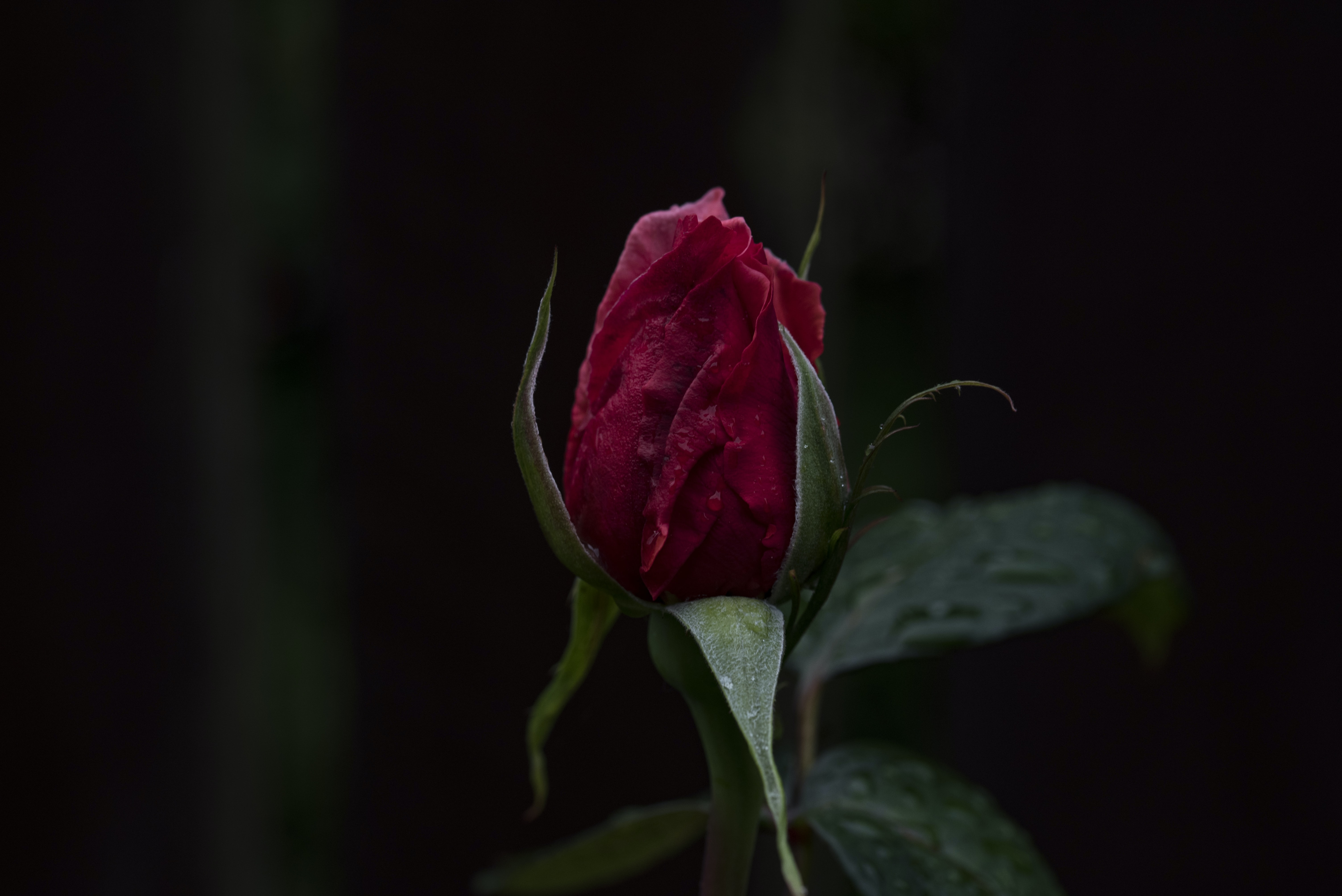 A macro shot of a bussing deep red rose