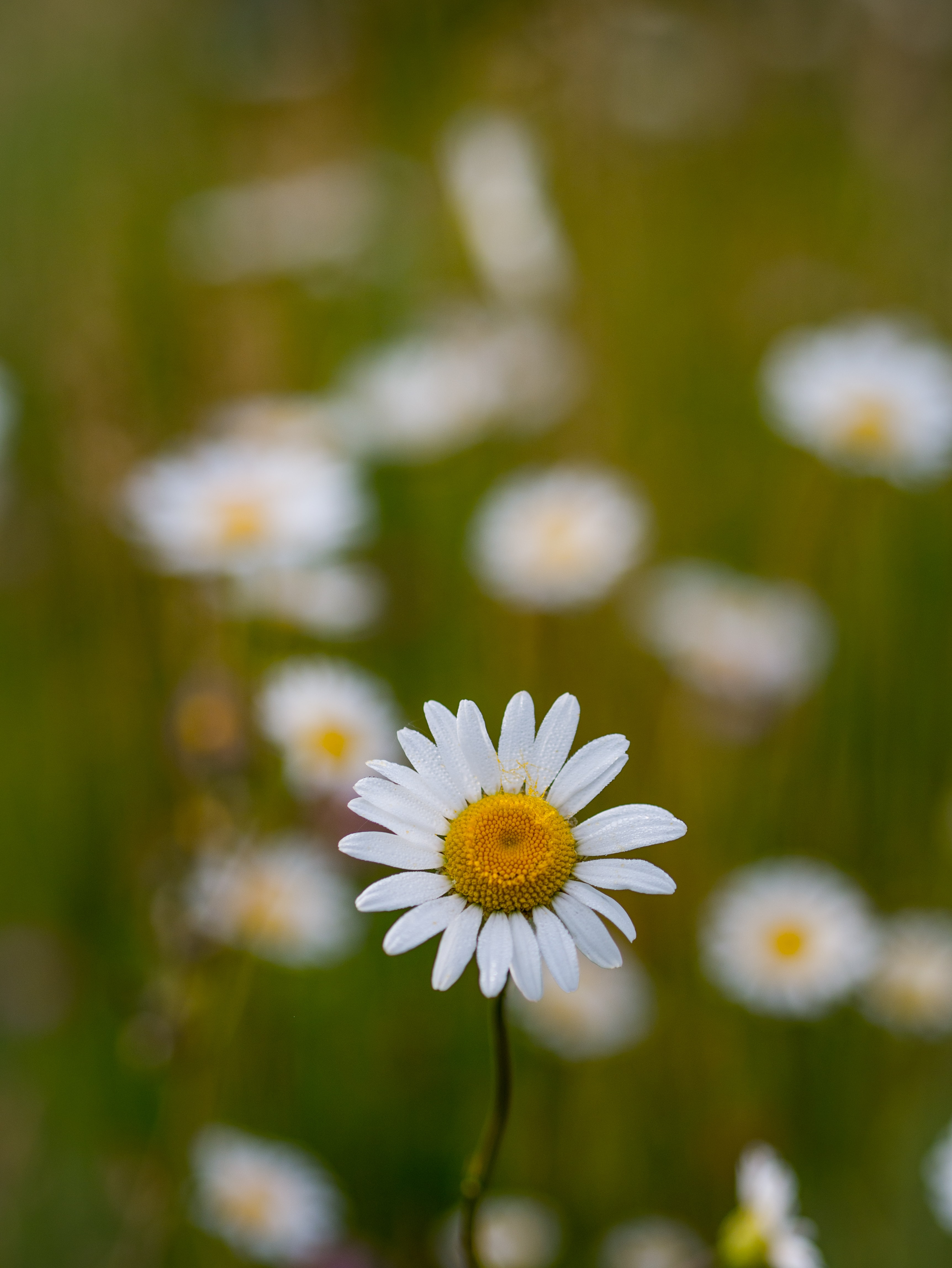 Close up of daisy wildflower in Spring on grass