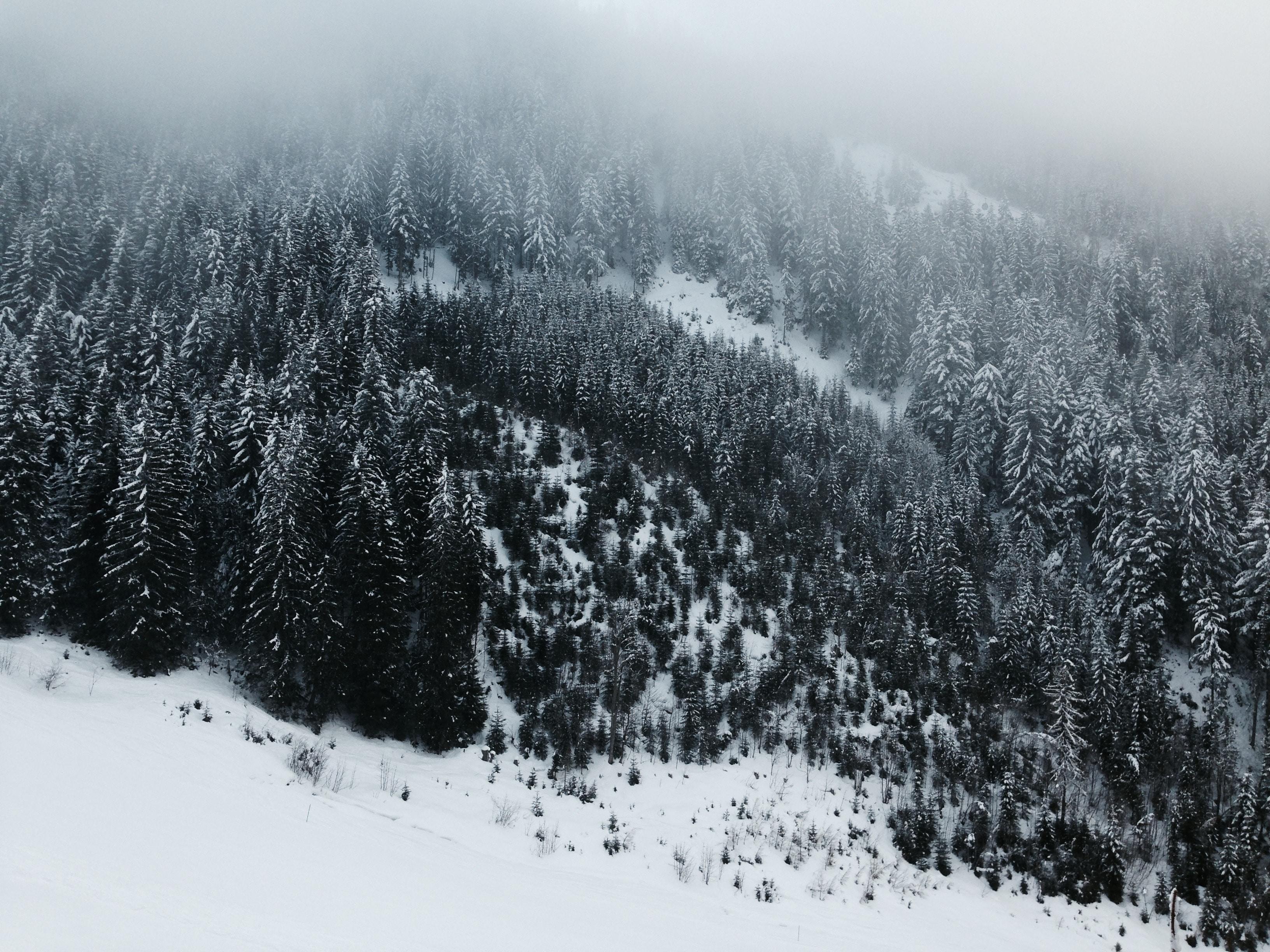 bird's eye view photography of pine trees