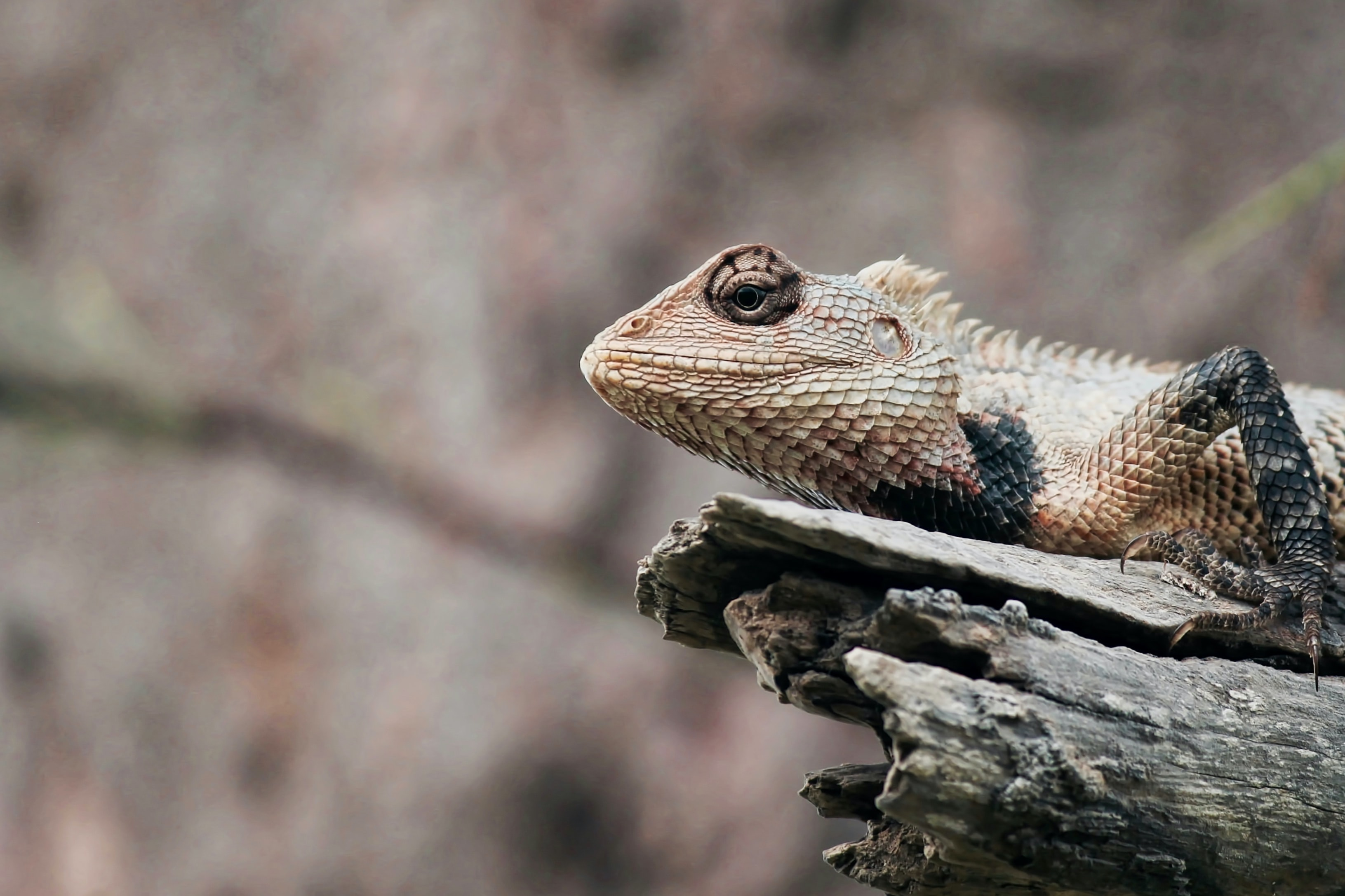 shallow focus photography of bearded dragon on tree branch
