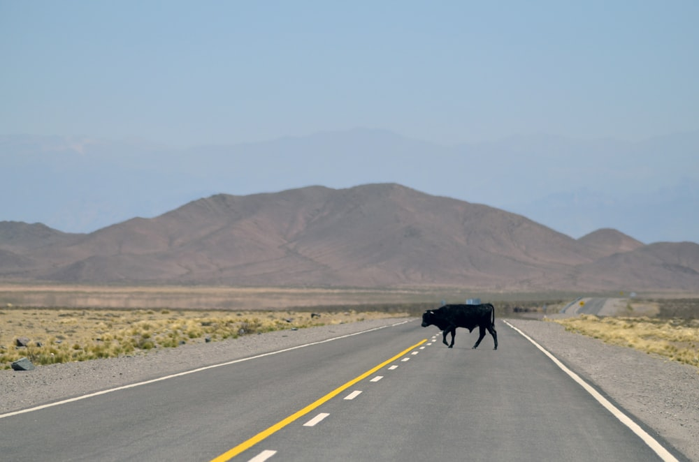 black cow standing on pavement