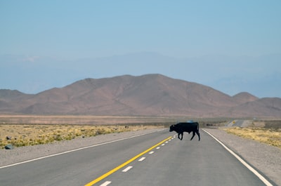 black cow standing on pavement argentina zoom background