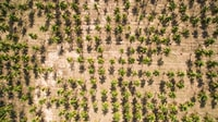 aerial photography of palm tree field