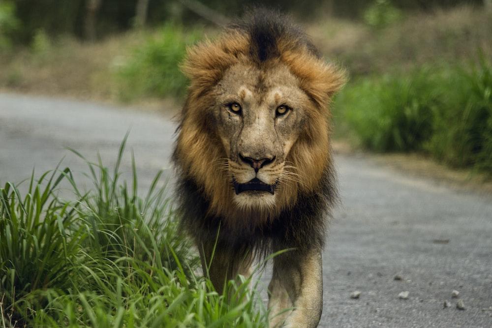 lion walking on road