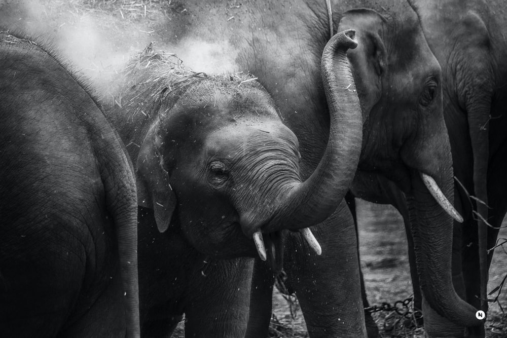 grayscale photo of elephants