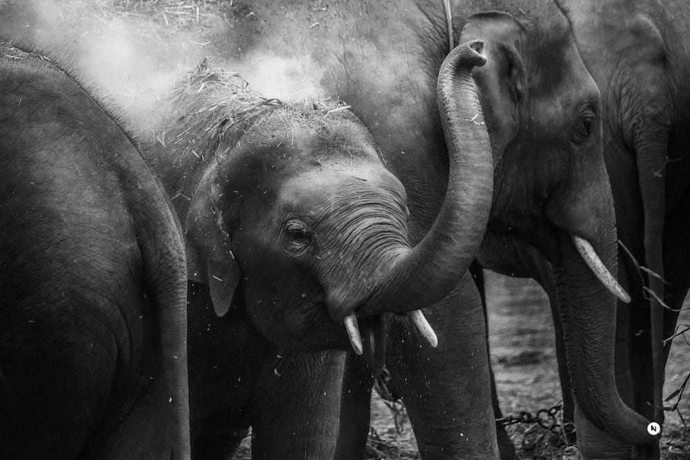 grayscale photo of elephants