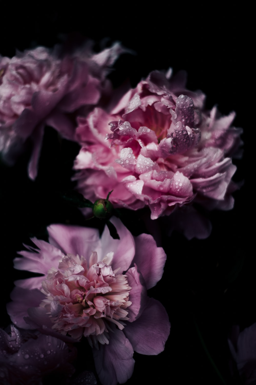 shallow focus photography of purple carnation flowers