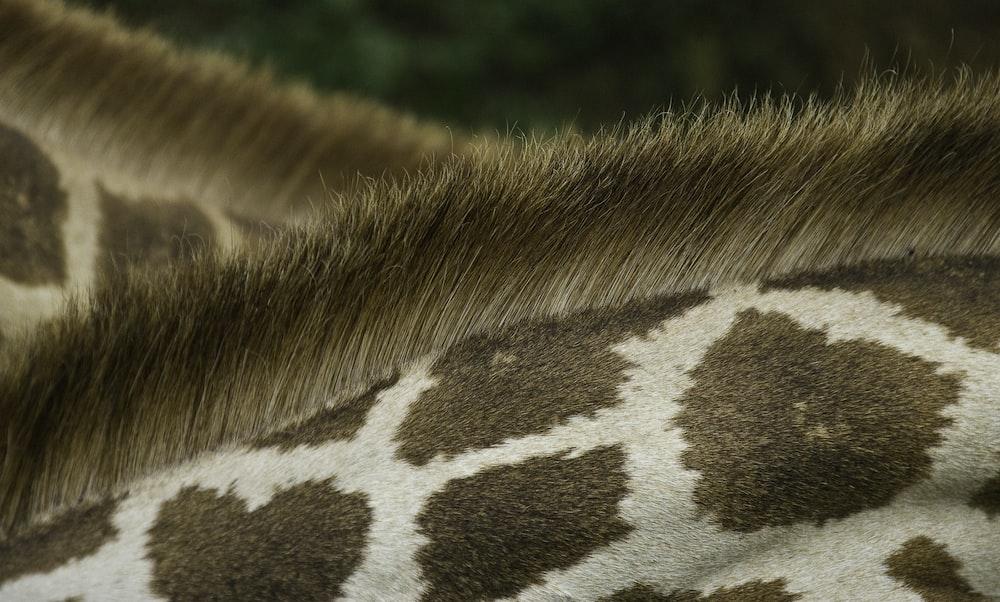 closeup photo of giraffe's back