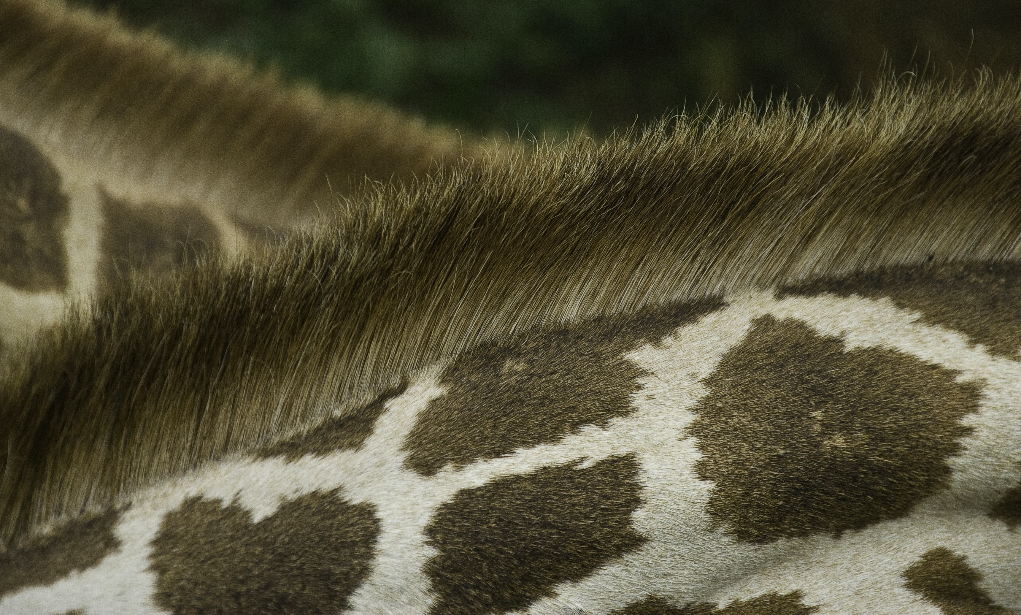 Close-up of a giraffe's fur and its stiff mane